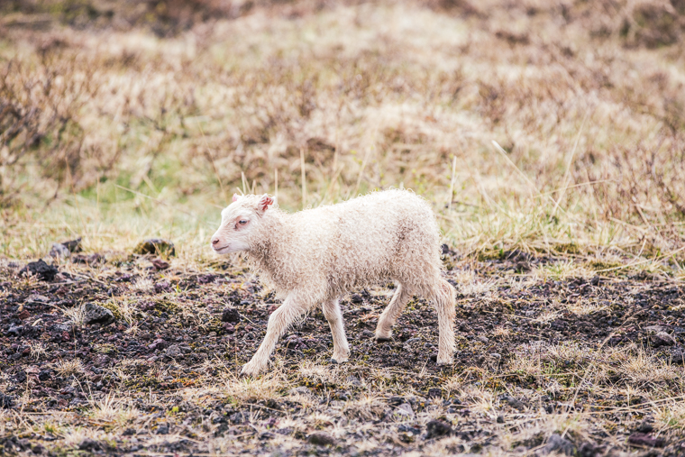 baby sheep in iceland
