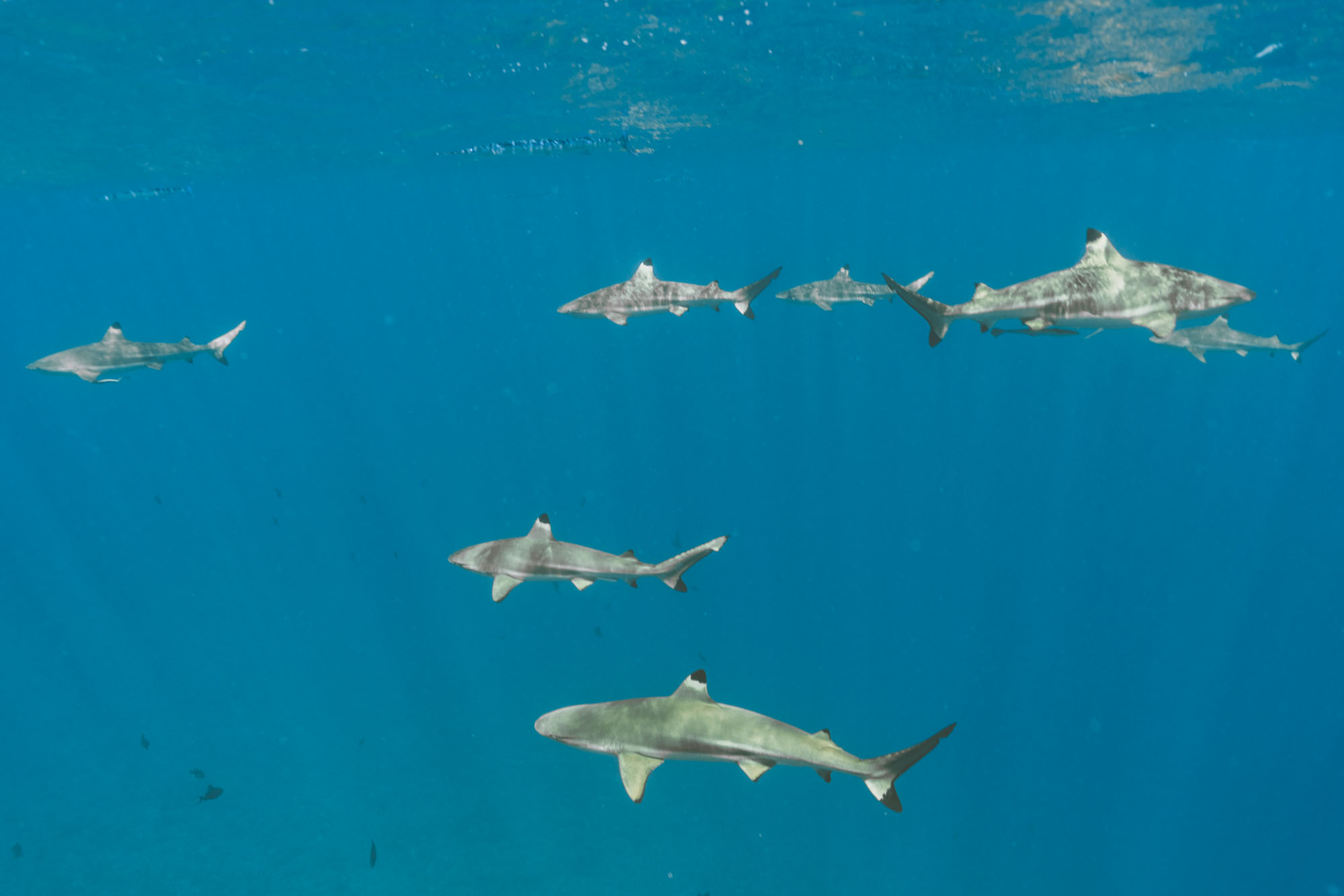 Swimming with sharks in Bora Bora Tahiti for our honeymoon via @finduslost