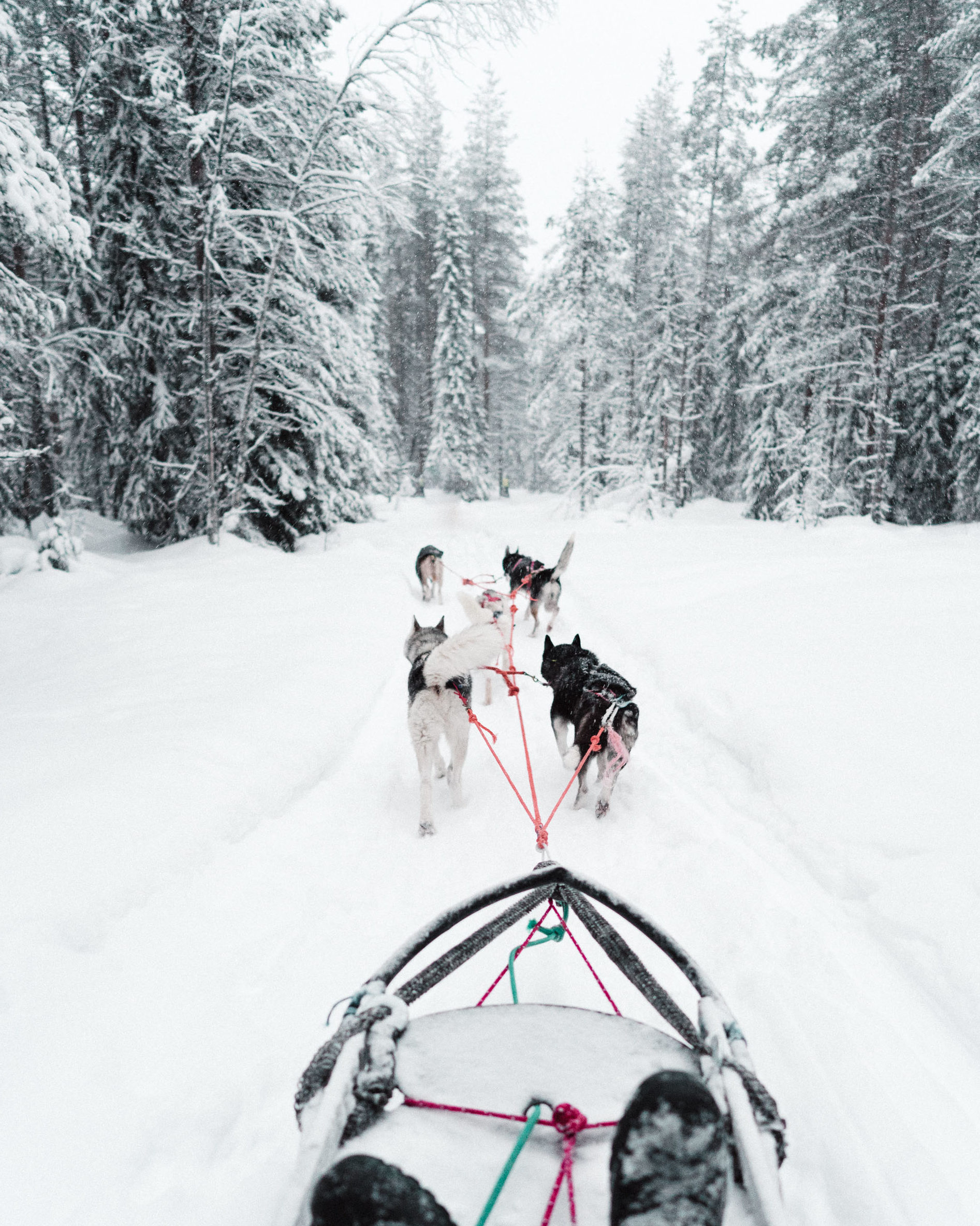 Husky safari dog sledding in Lapland Finland