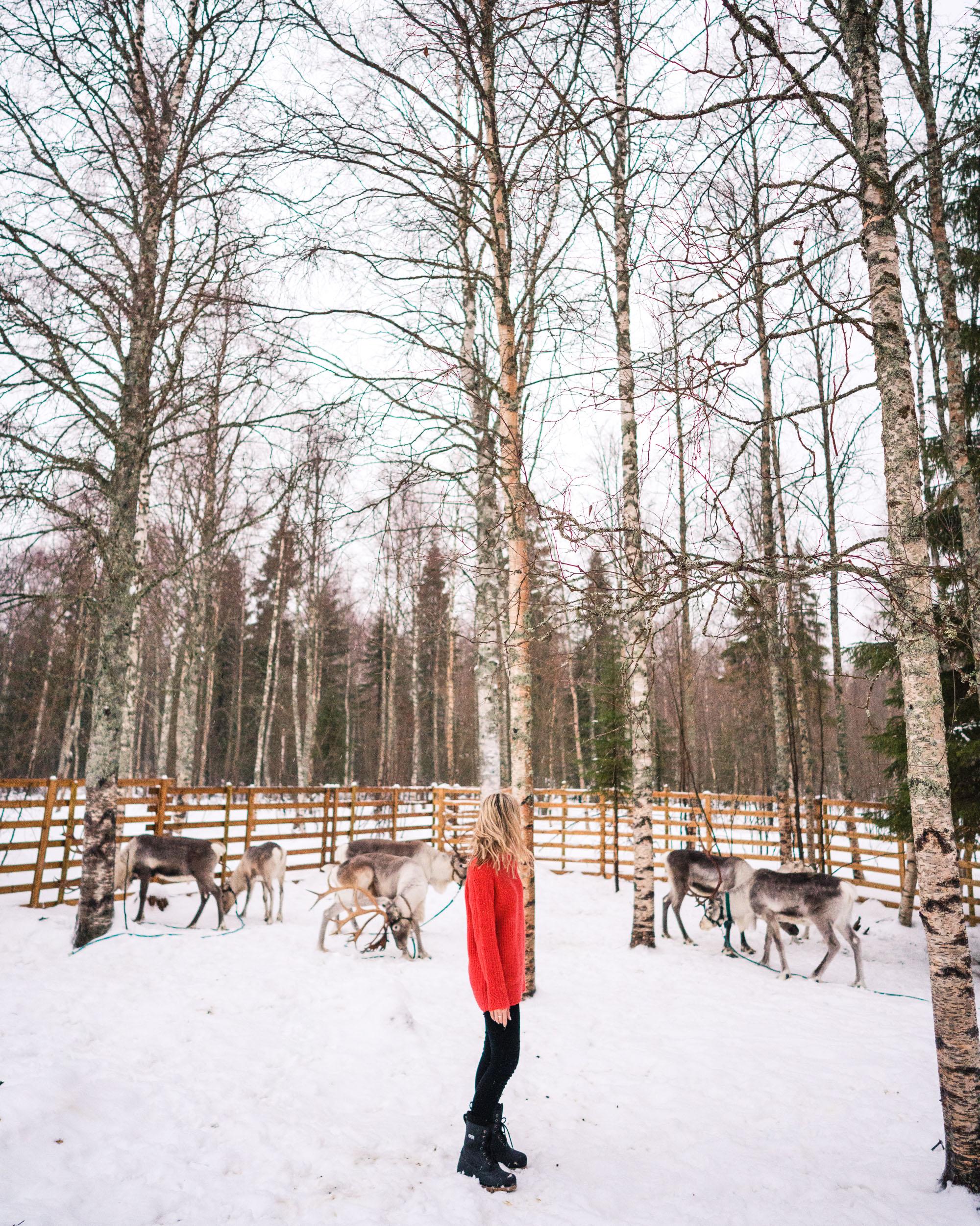 Feeding reindeer in kemi lapland finland
