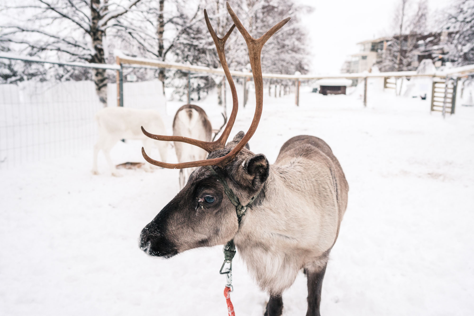 Reindeer in Kuusamo Lapland Finland