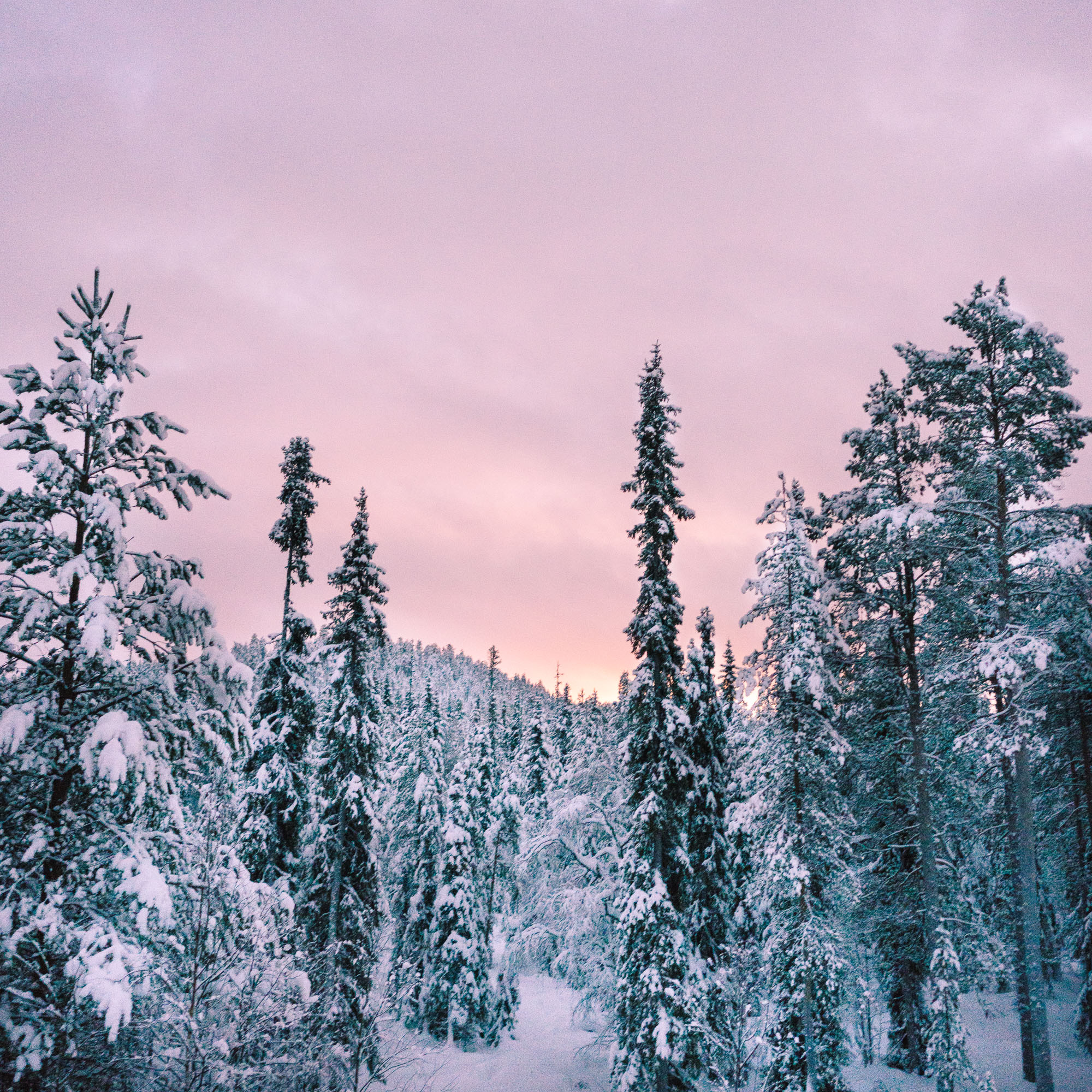 Snow-covered trees during sunset in Finland