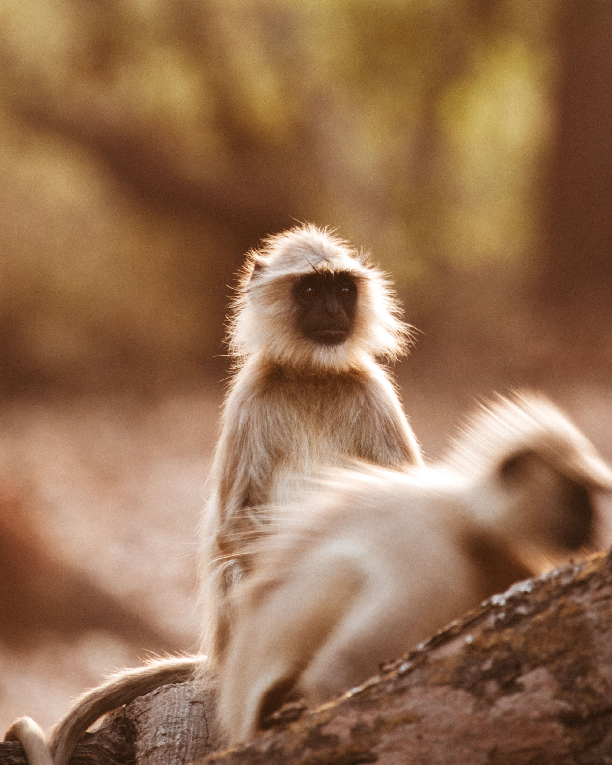 Monkeys on Safari in Ranthambore National Park, India via Find Us Lost