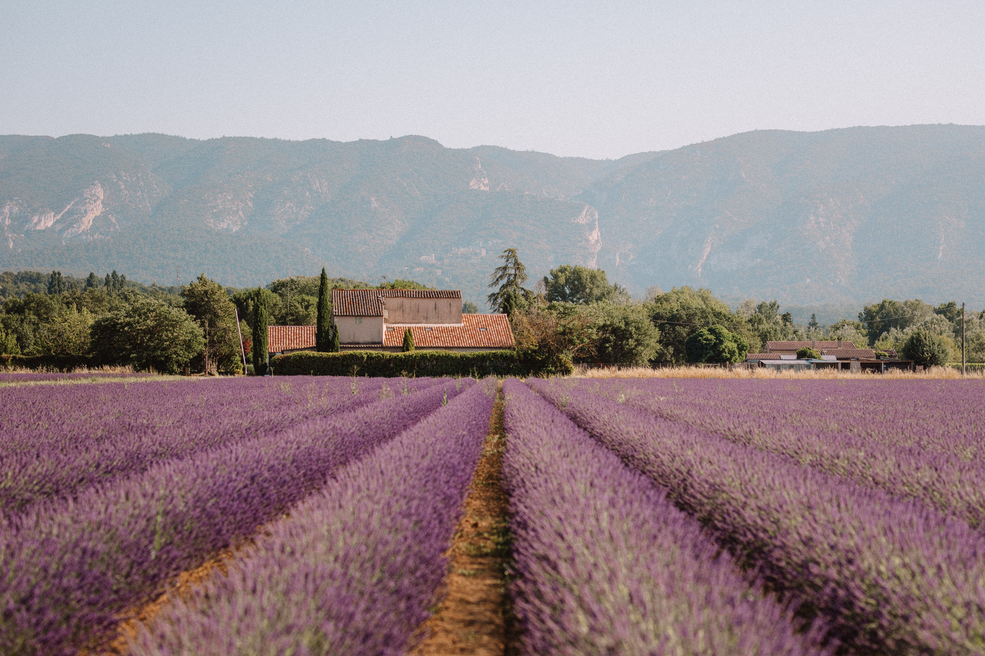 Lavender fields in Provence, South of France