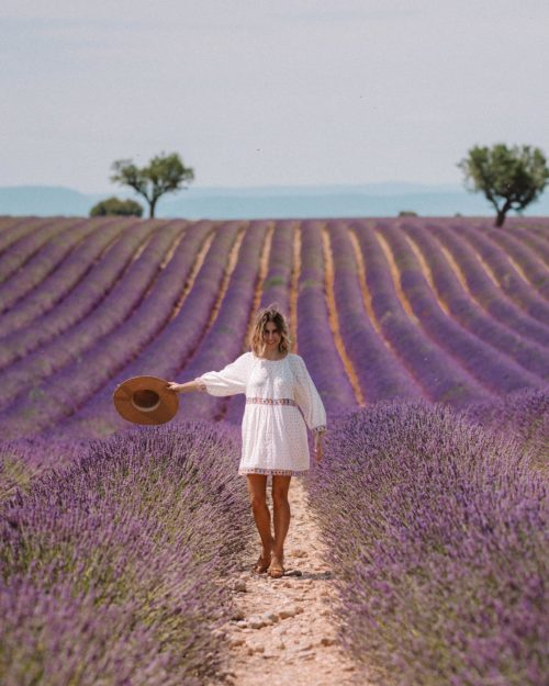 Valensole lavender field with one olive tree in Provence France