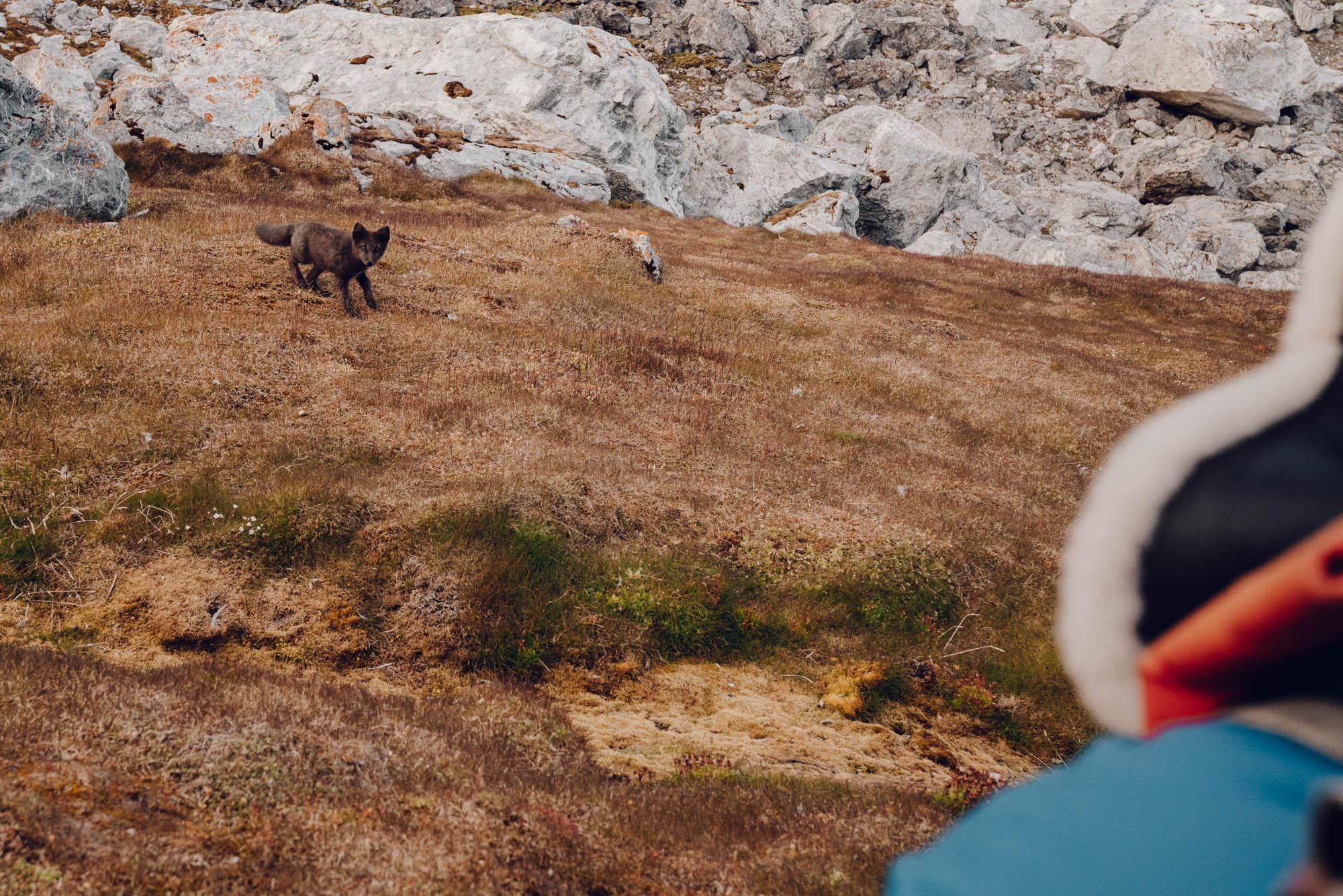 Blue Arctic Fox in Svalbard, Spitsbergen, Norway
