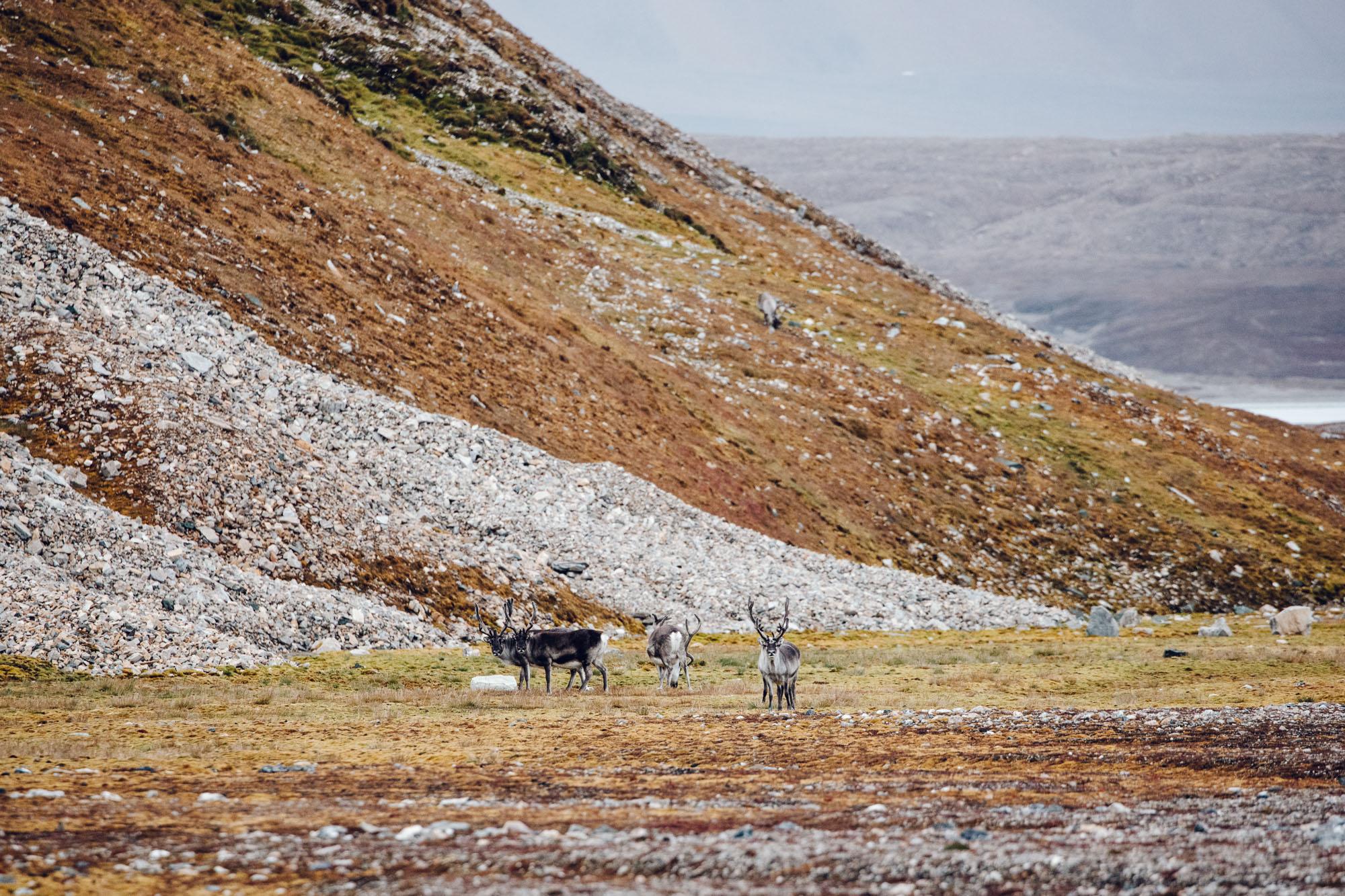 Svalbard reindeer in Spitsbergen, Svalbard