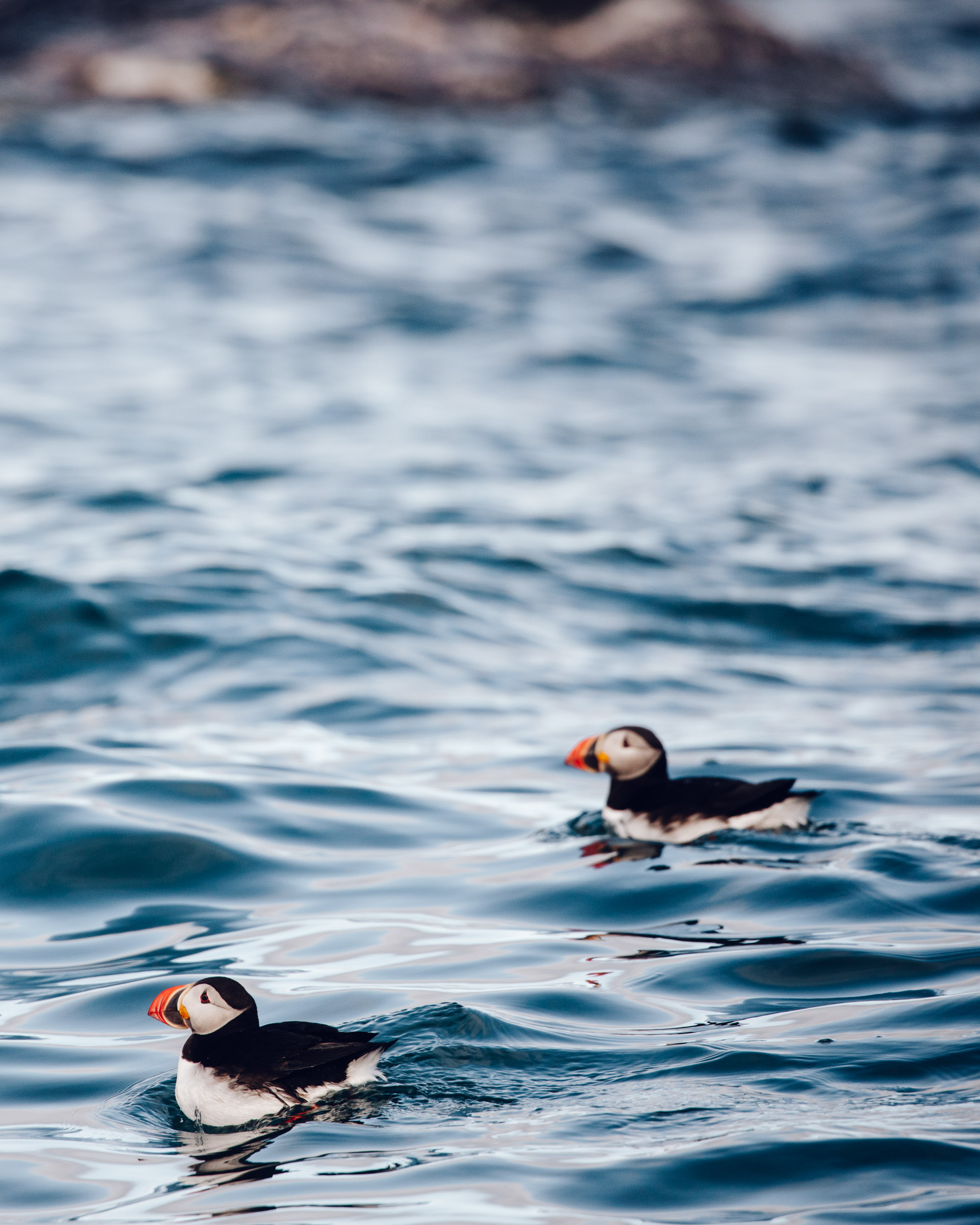 Puffins in Svalbard, Spitsbergen, Norway