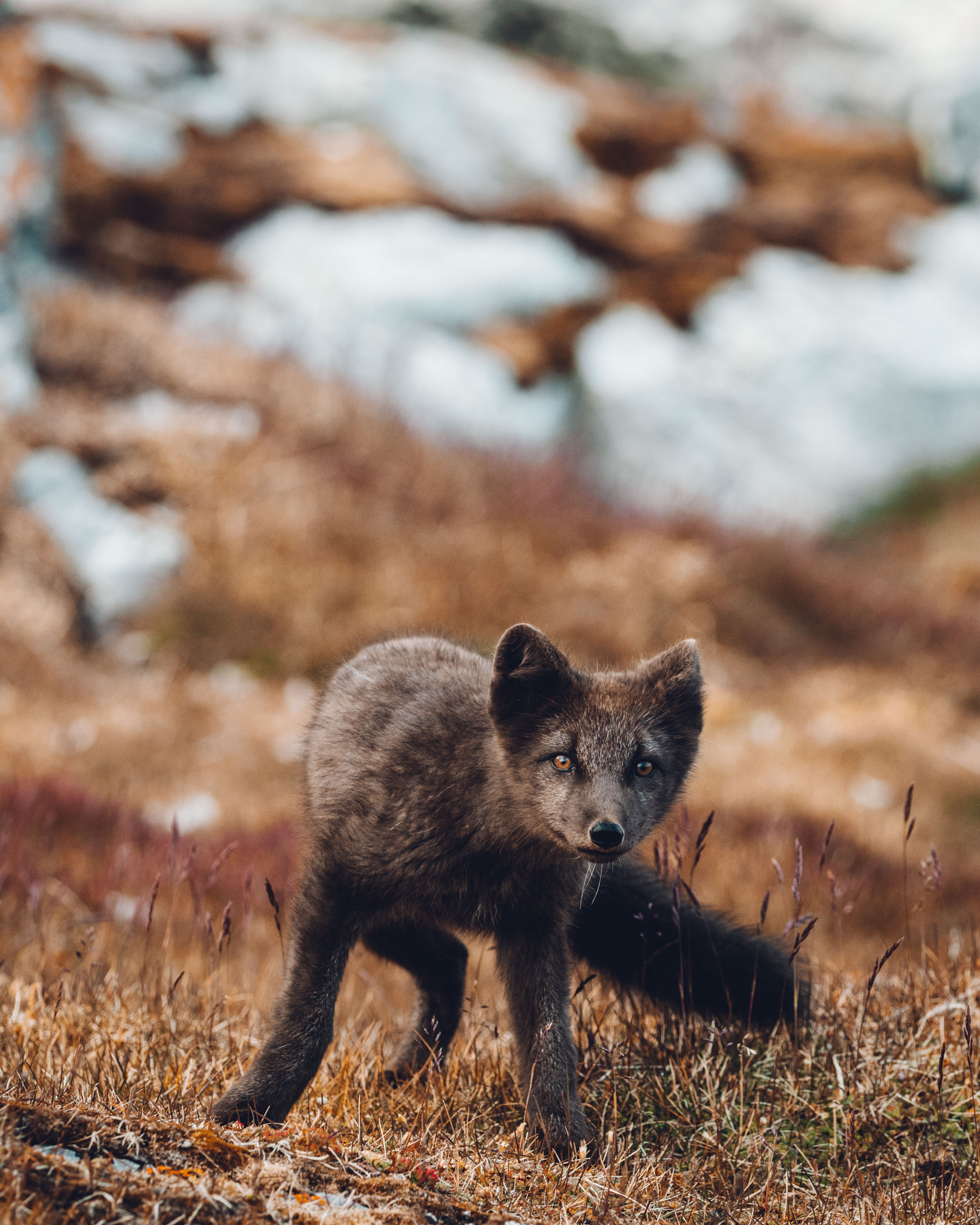 Blue Arctic Fox in Svalbard, Spitsbergen, Norway