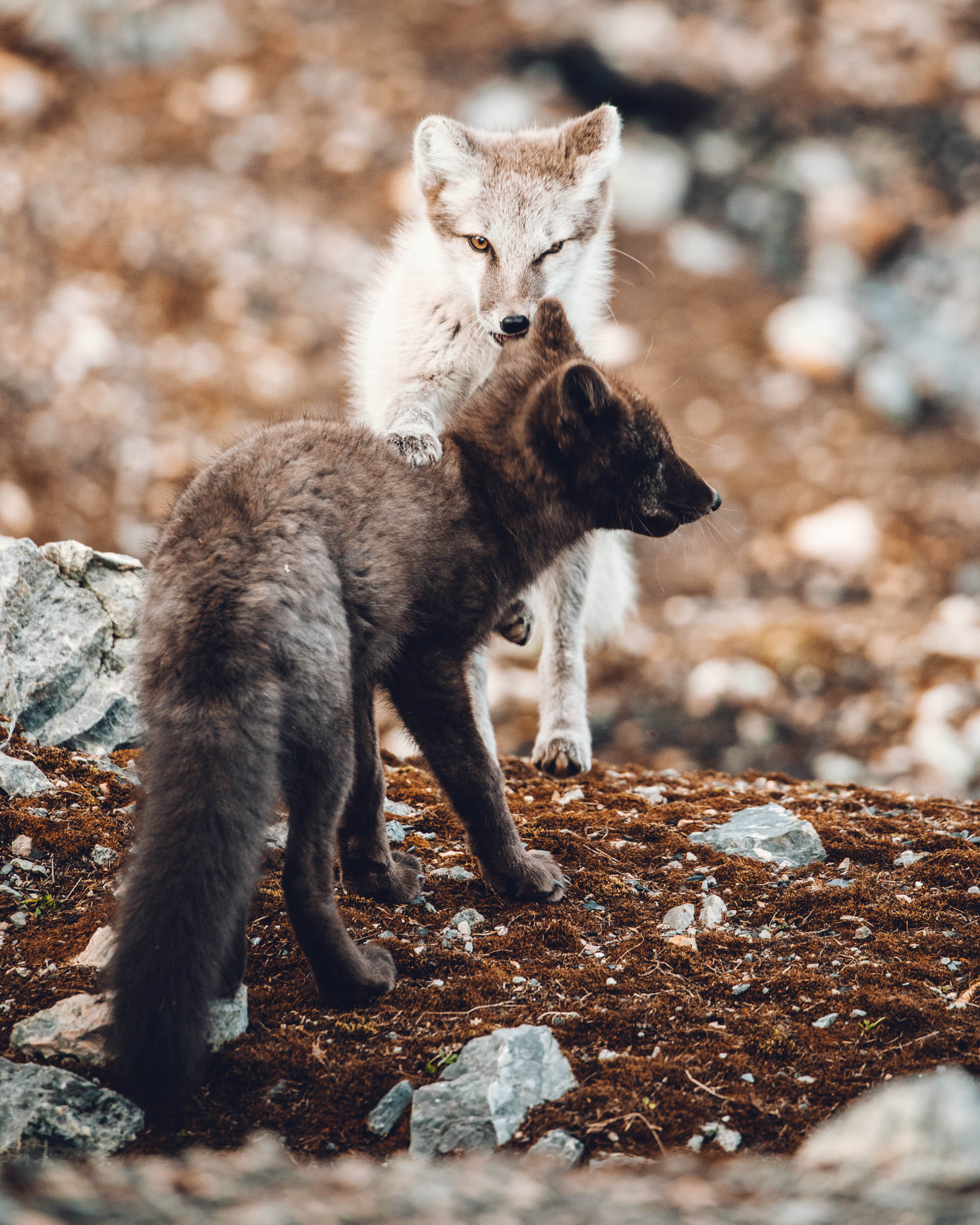 Blue and white Arctic Fox in Svalbard, Spitsbergen, Norway