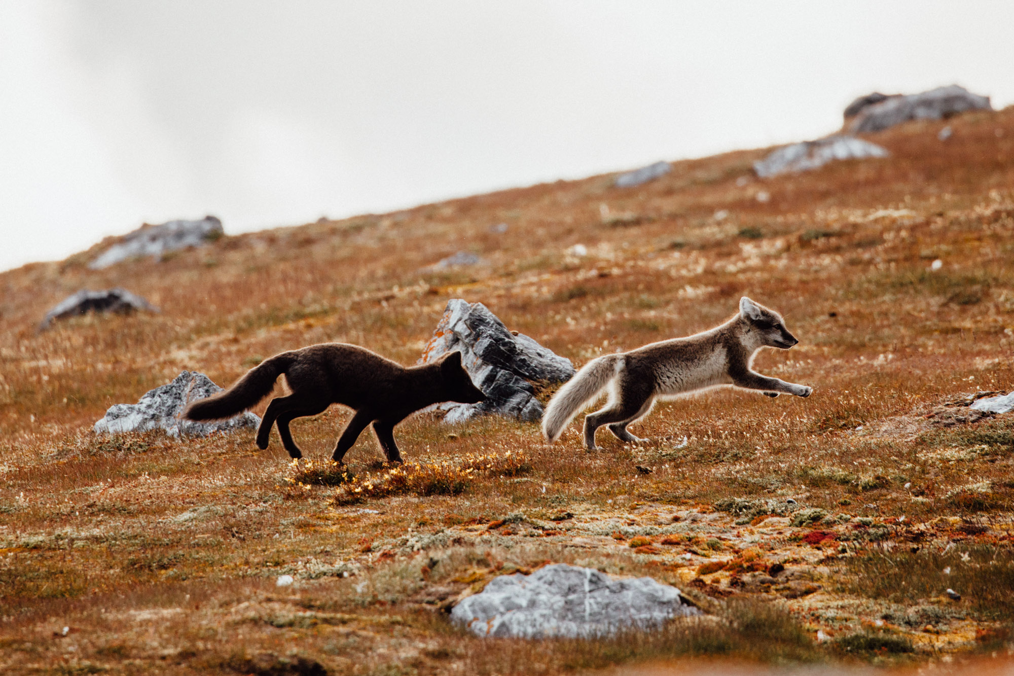 Arctic Foxes in Svalbard, Spitsbergen, Norway