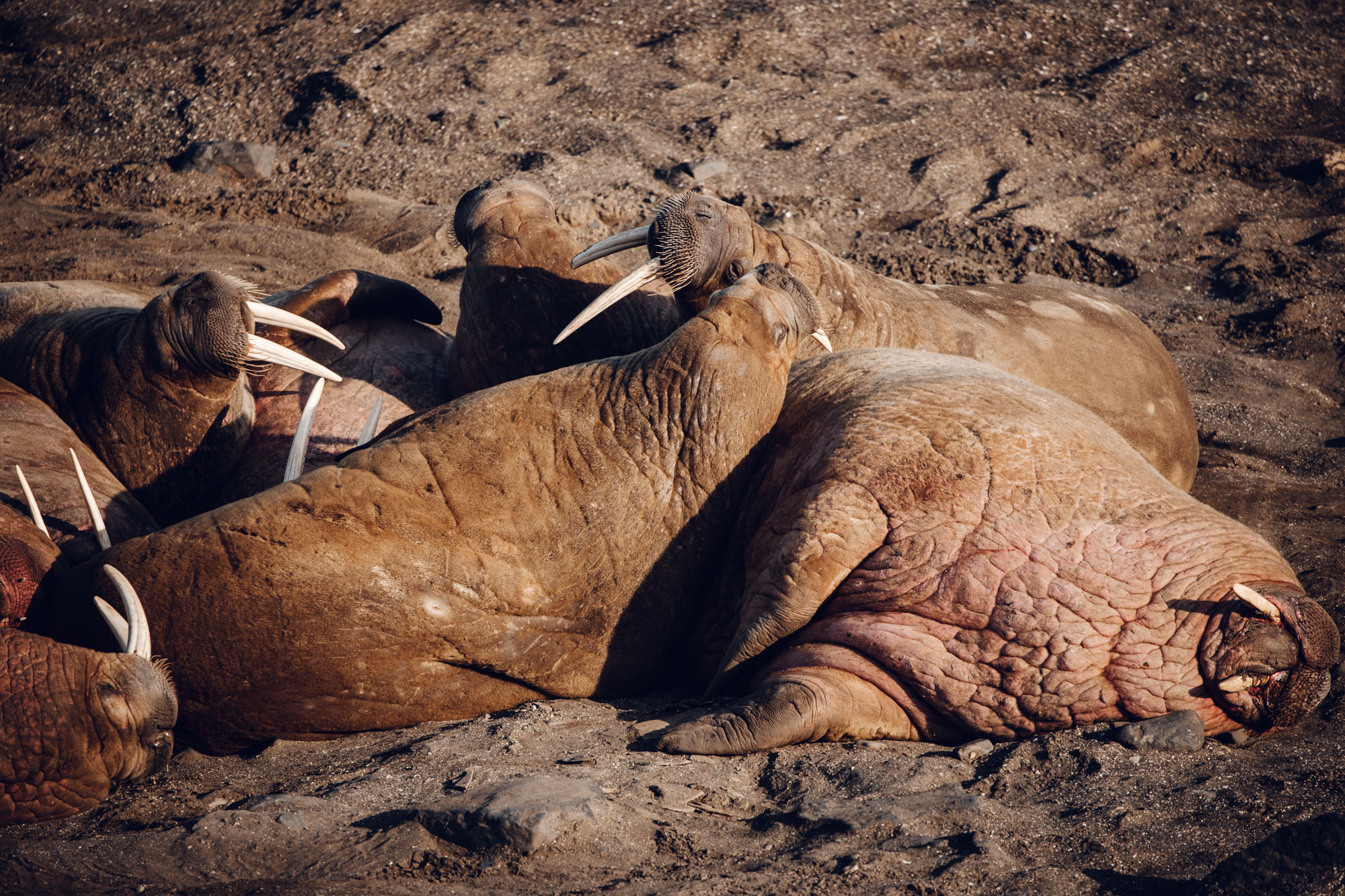 Walruses in Spitsbergen, Svalbard, Norway