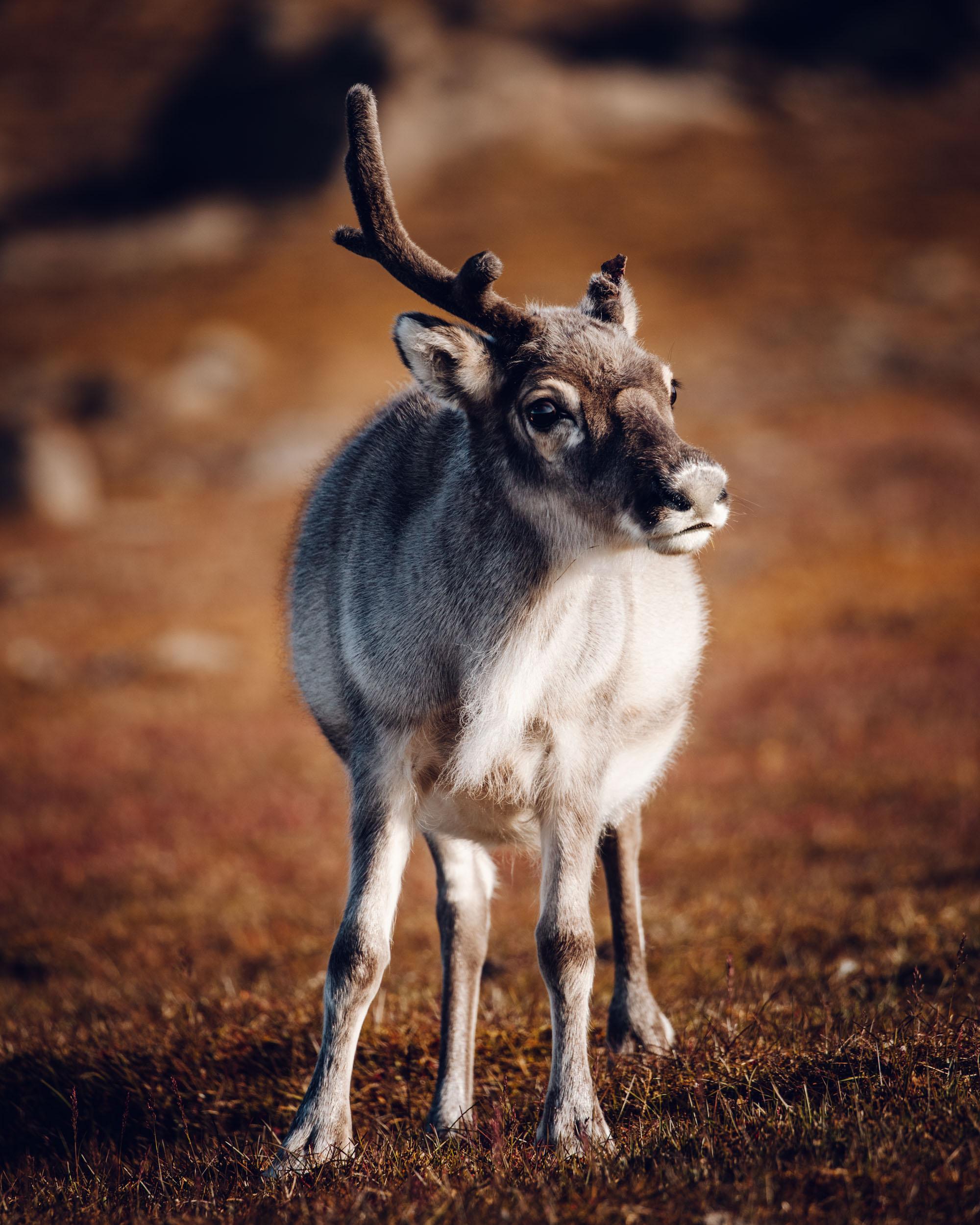 Svalbard reindeer in the valley in Spitsbergen, Svalbard, Norway