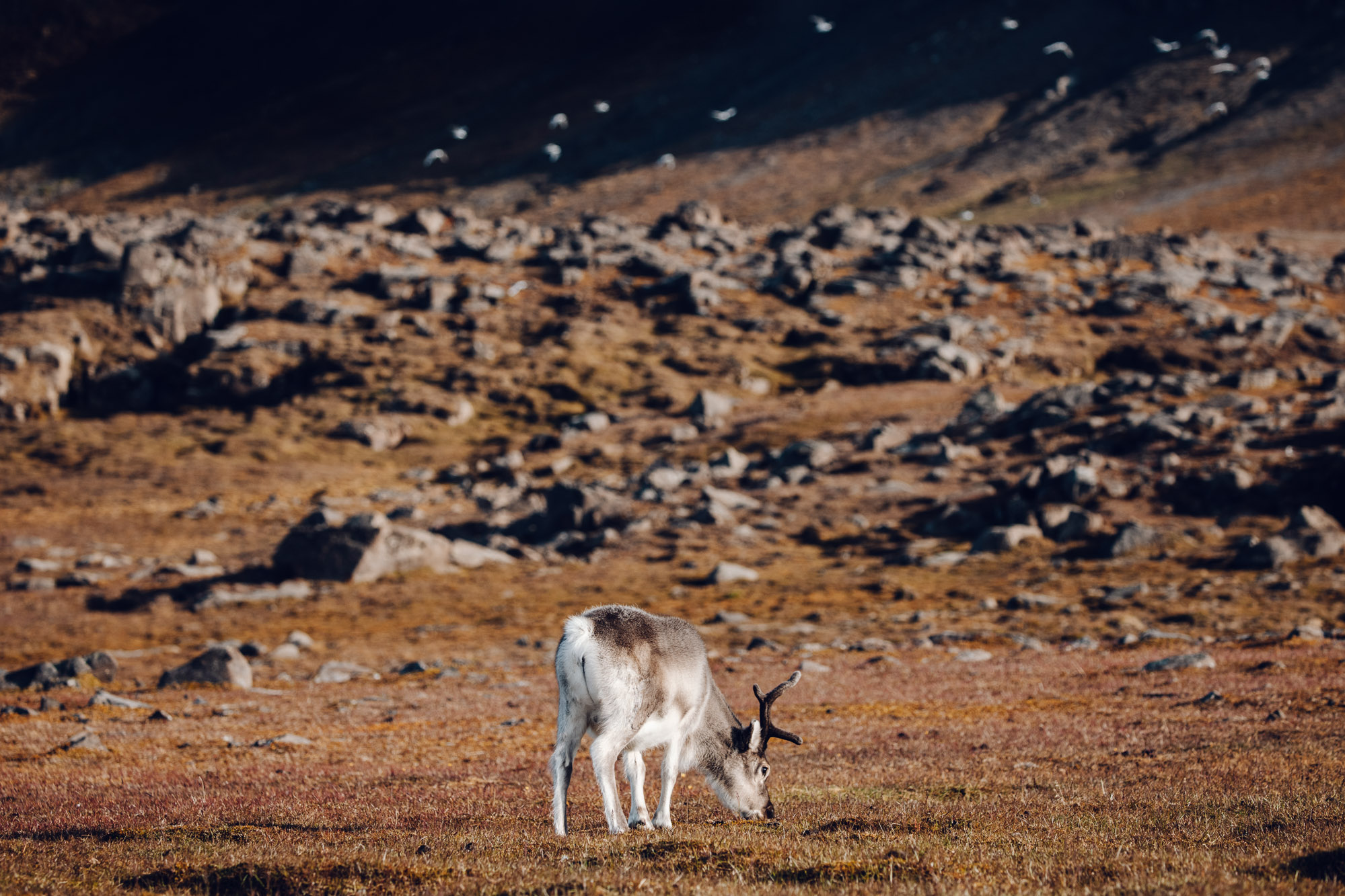 Svalbard reindeer in the valley in Spitsbergen, Svalbard, Norway