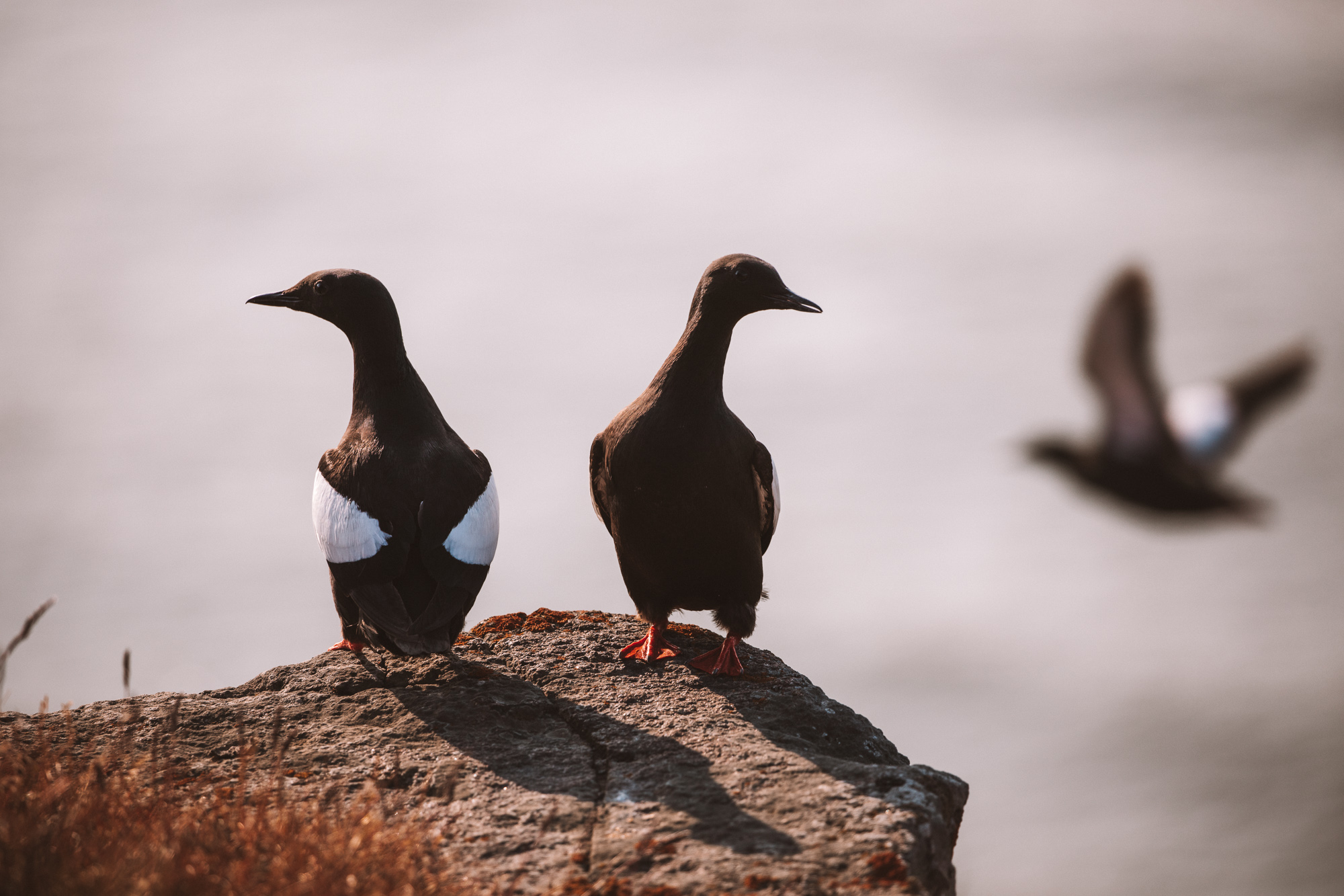 Black guillemot birds in Spitsbergen, Svalbard, Norway