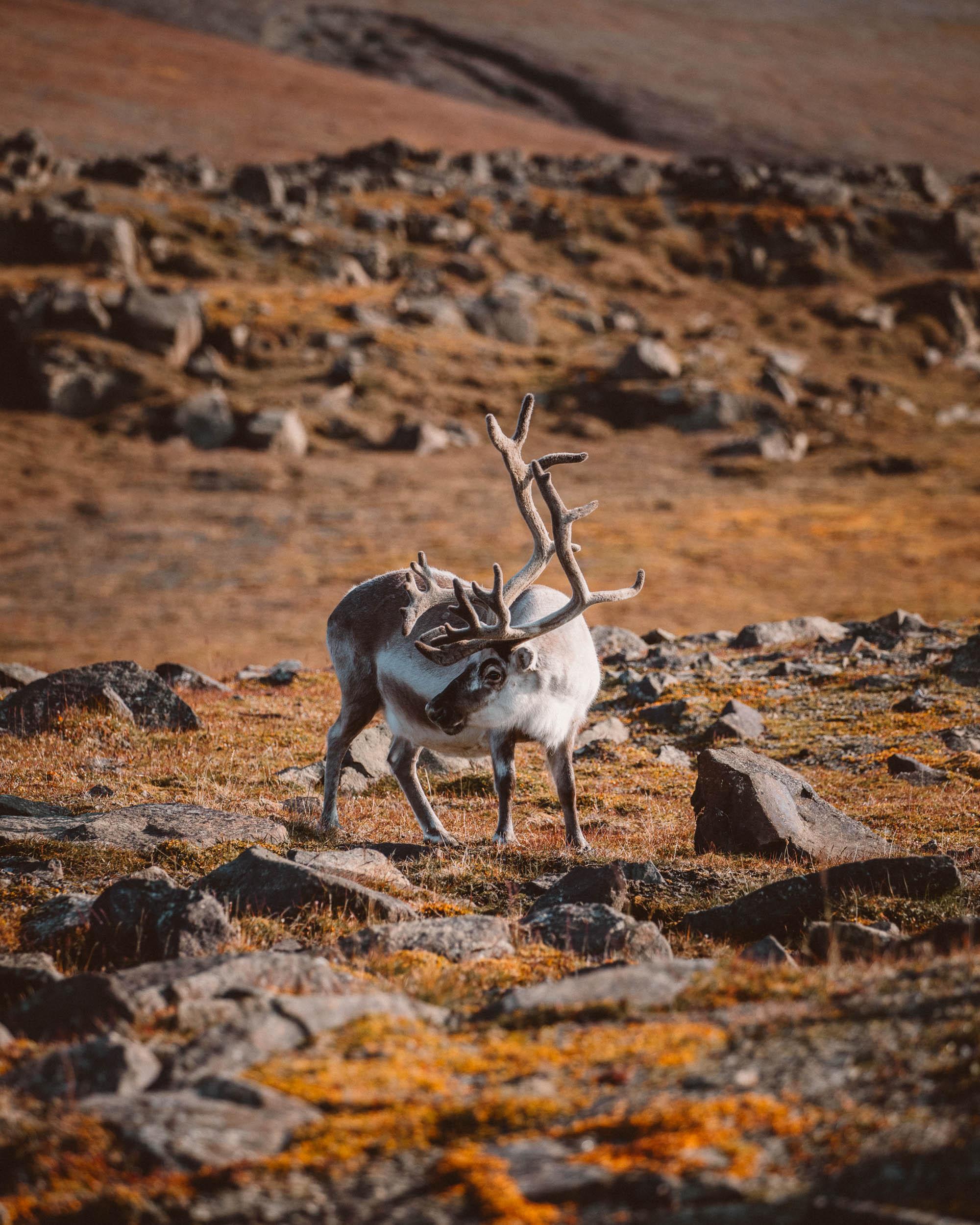 Svalbard reindeer Spitsbergen, Svalbard, Norway