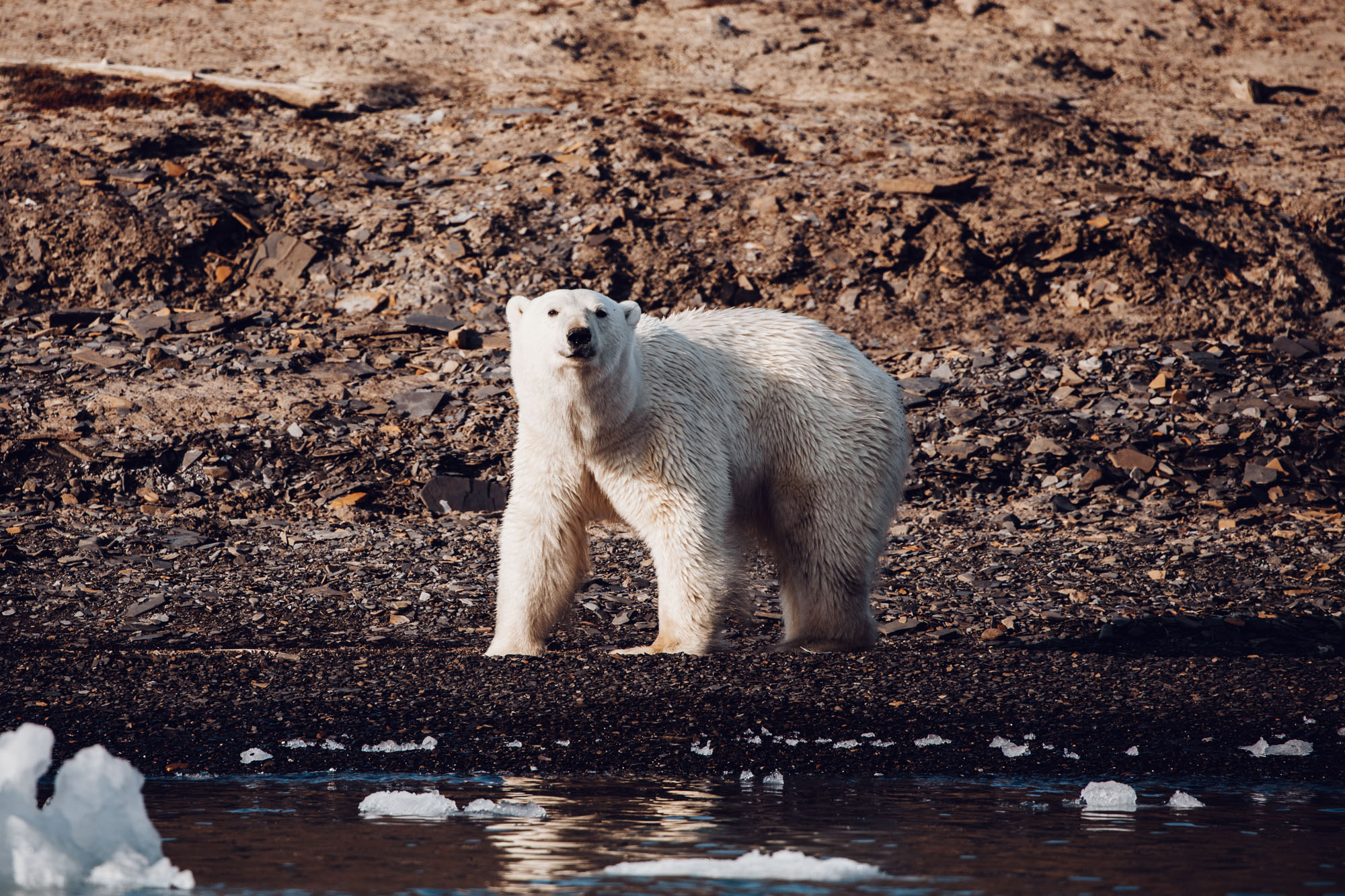 Polar bear in Spitsbergen, Svalbard, Norway