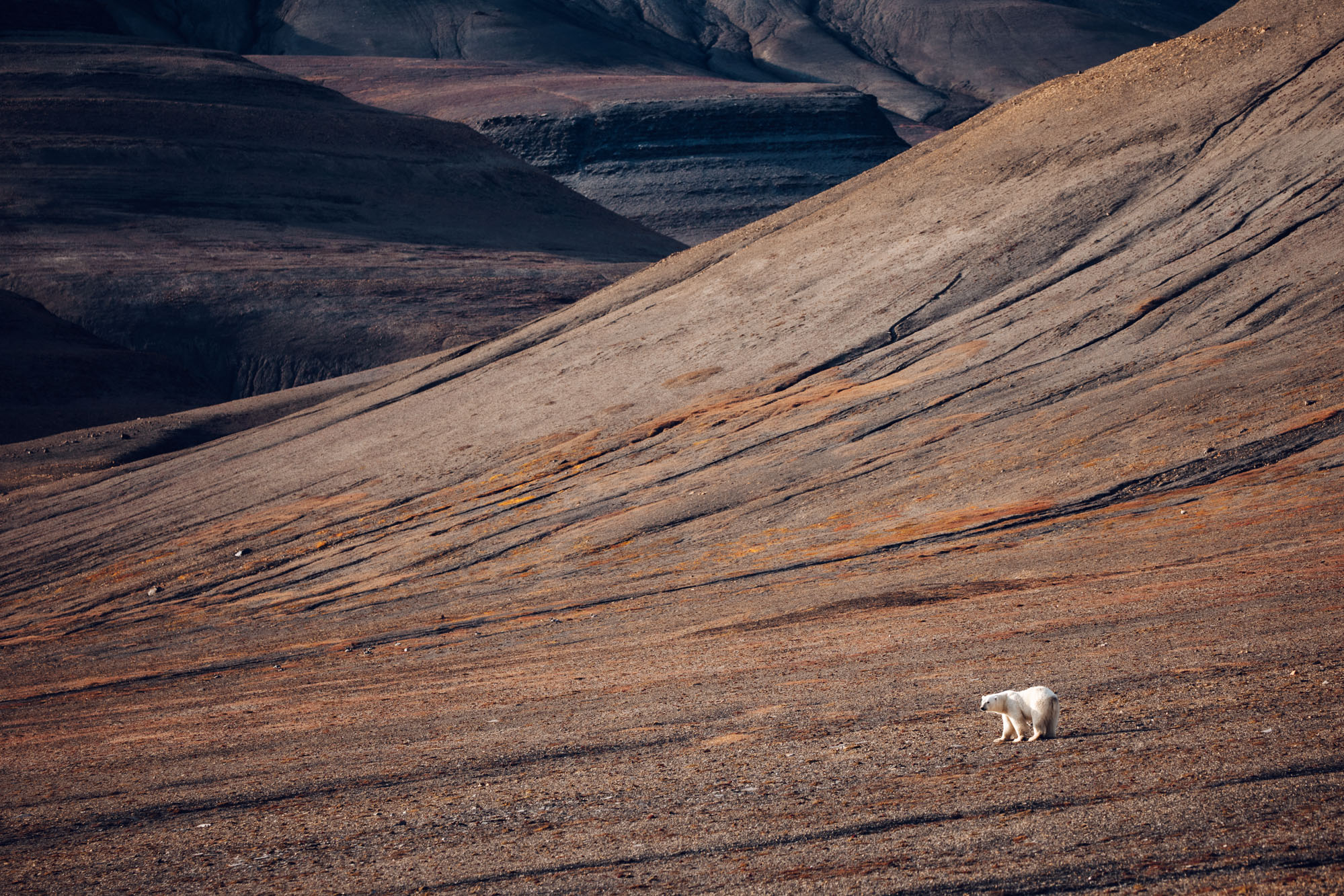 Polar bear in the mountains of Spitsbergen, Svalbard, Norway
