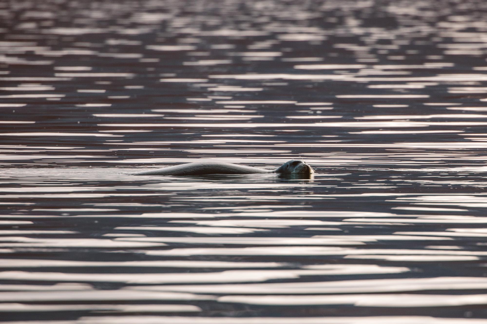 Seal in the water Spitsbergen, Svalbard, Norway