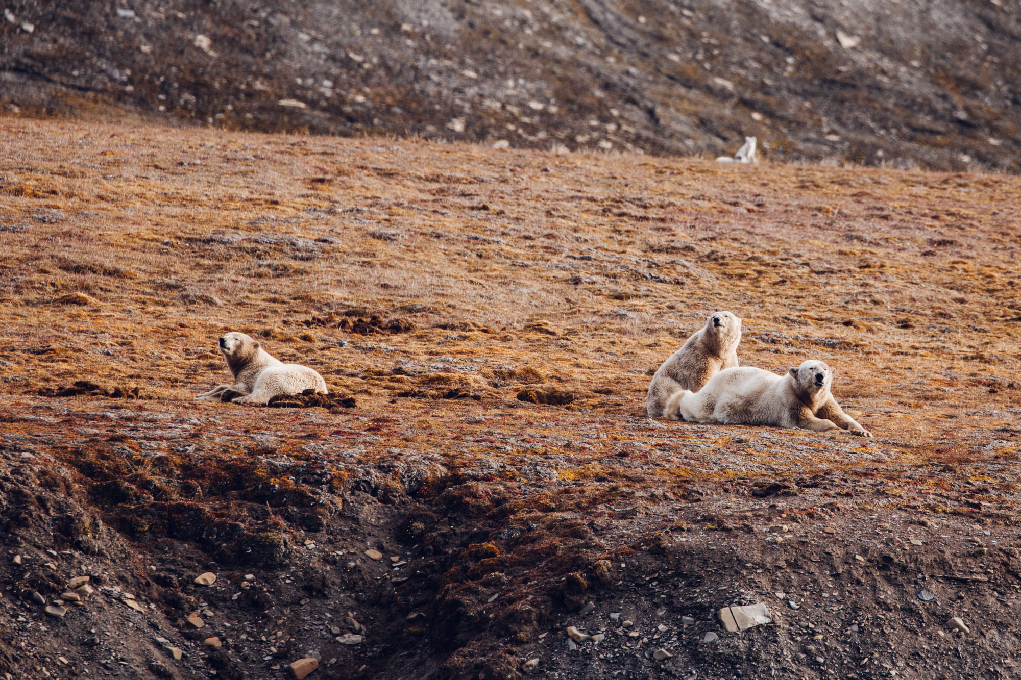 Mother Polar bear and bear cubs in Spitsbergen, Svalbard, Norway
