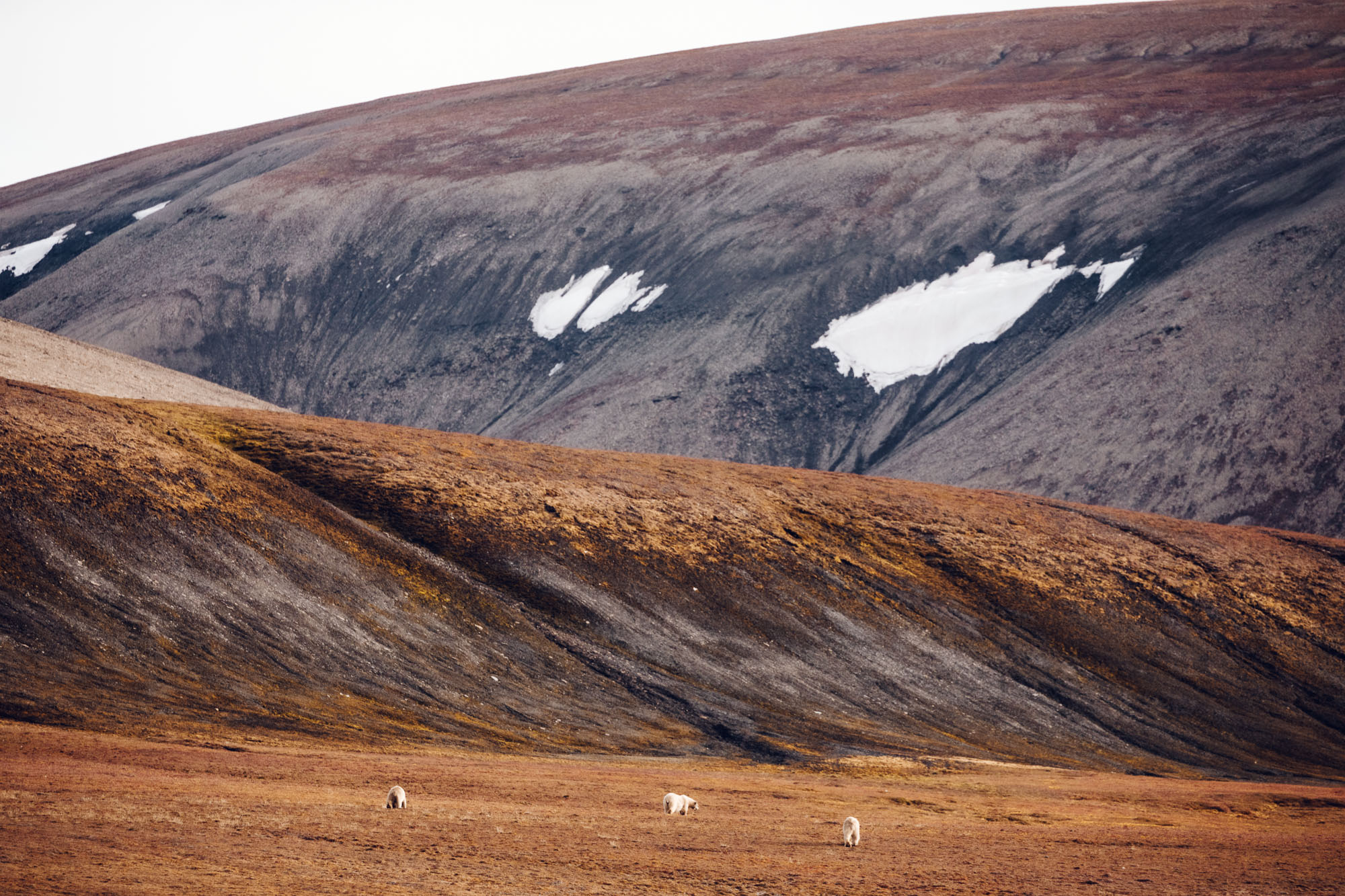 Polar bear and her bear cubs in the mountains of Spitsbergen, Svalbard, Norway