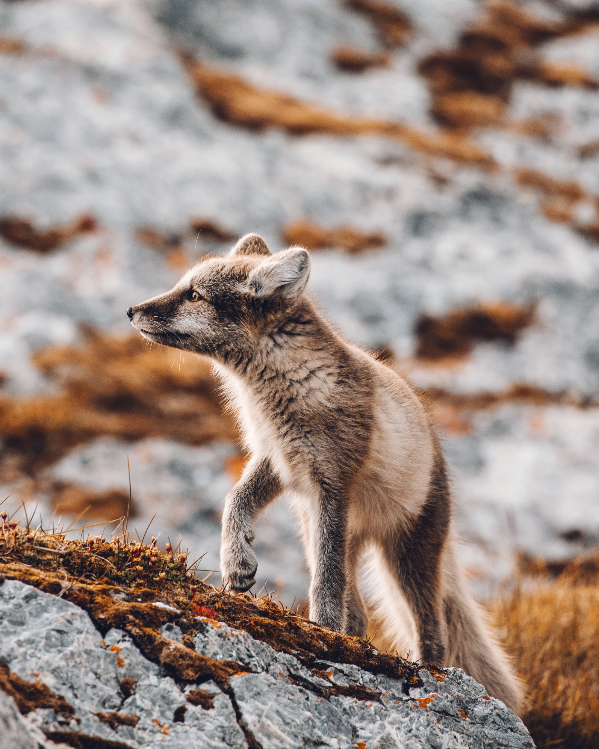 White Arctic Fox in Svalbard, Spitsbergen, Norway