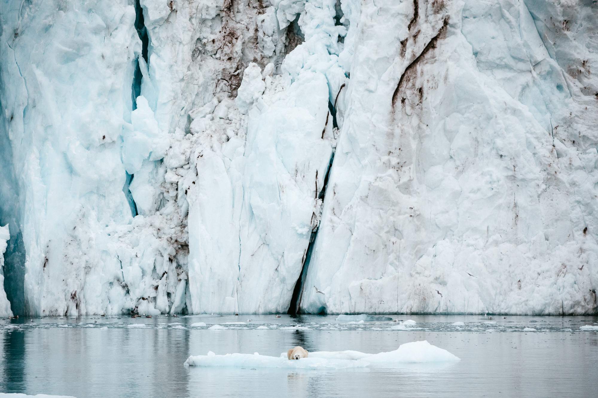 Polar bear on the ice in front of a glacier in Svalbard, Spitsbergen, Norway