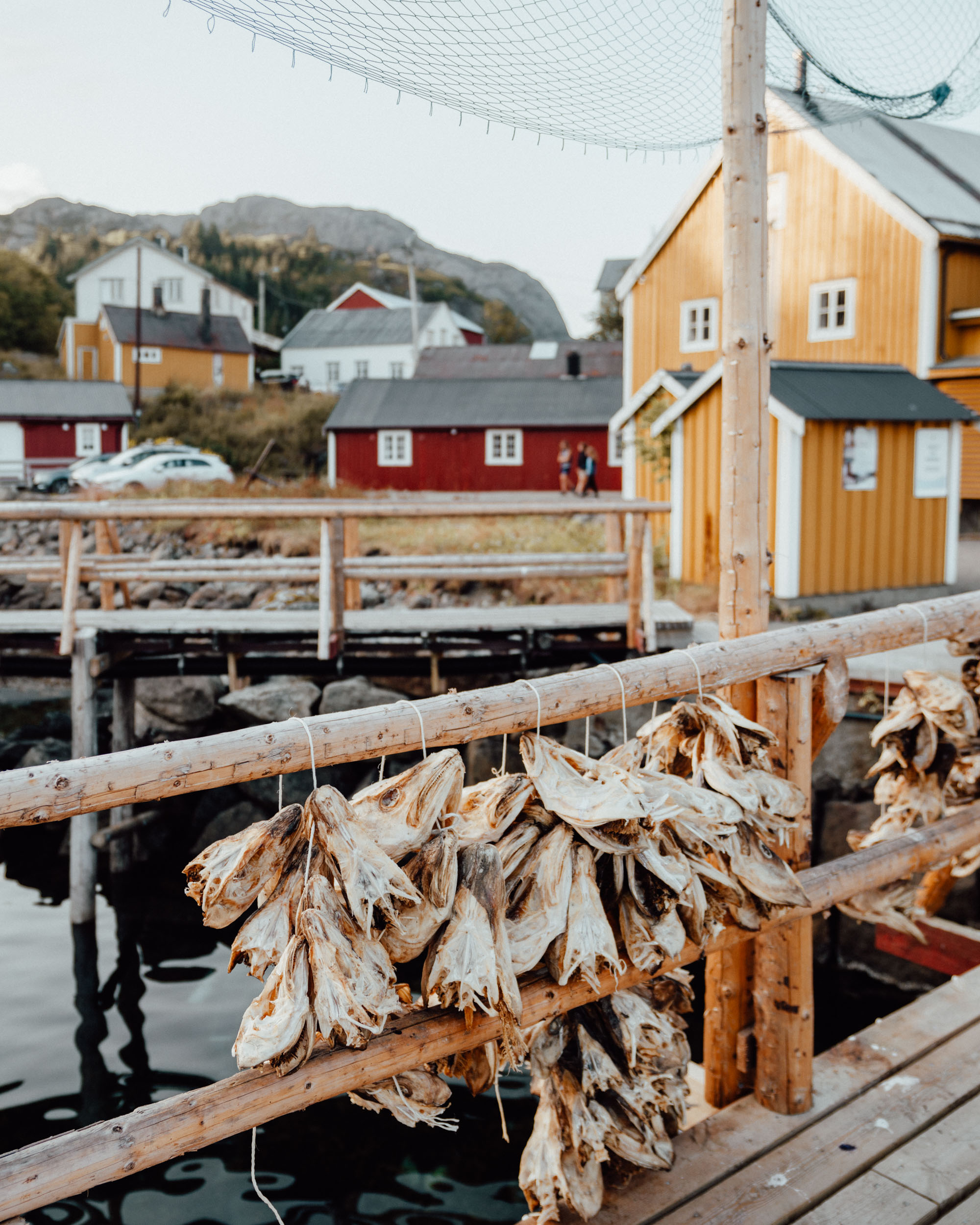 Drying cod fish in Nusfjord fishing town in Lofoten, Norway