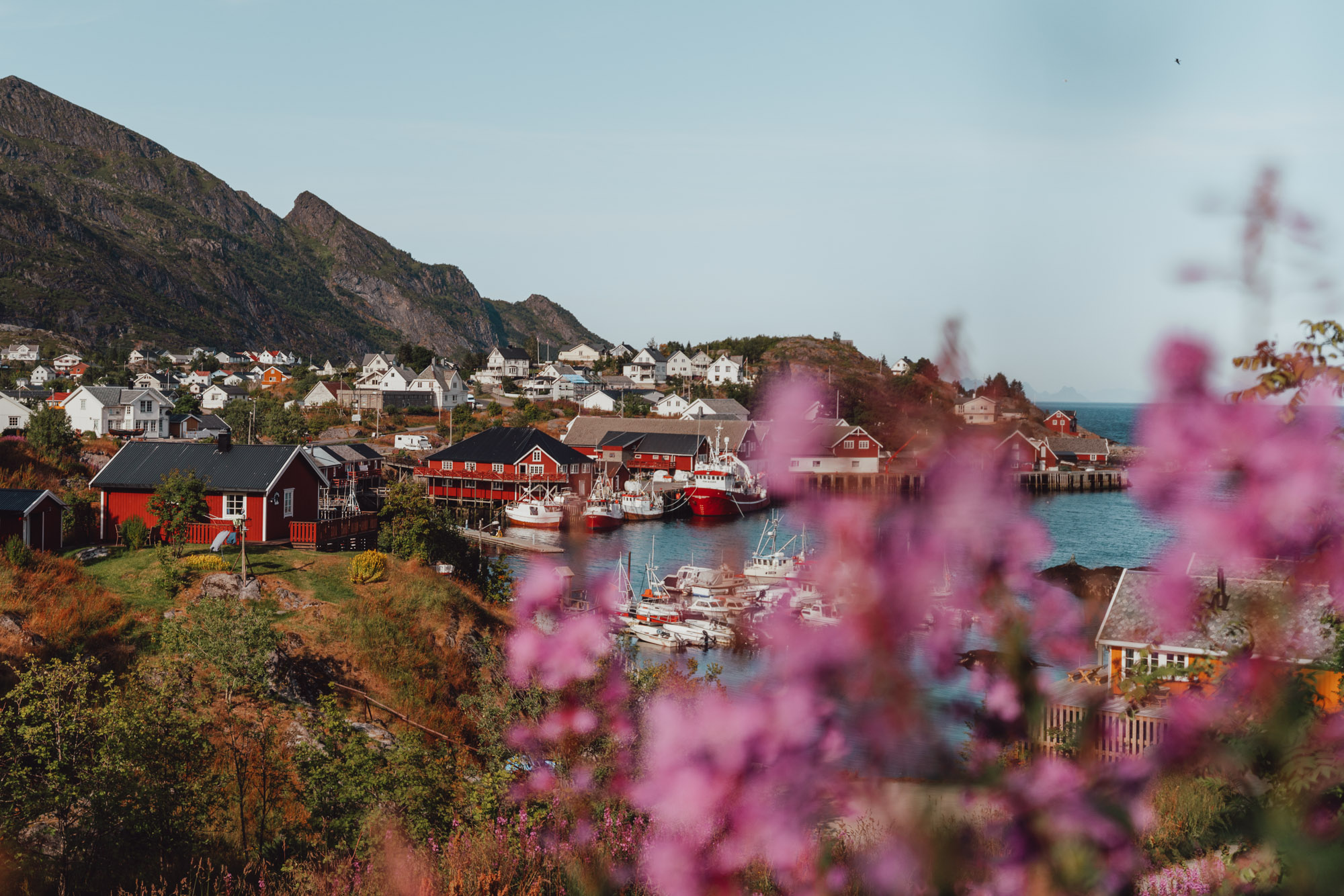 Sorvagen lofoten town with purple flowers in Norway