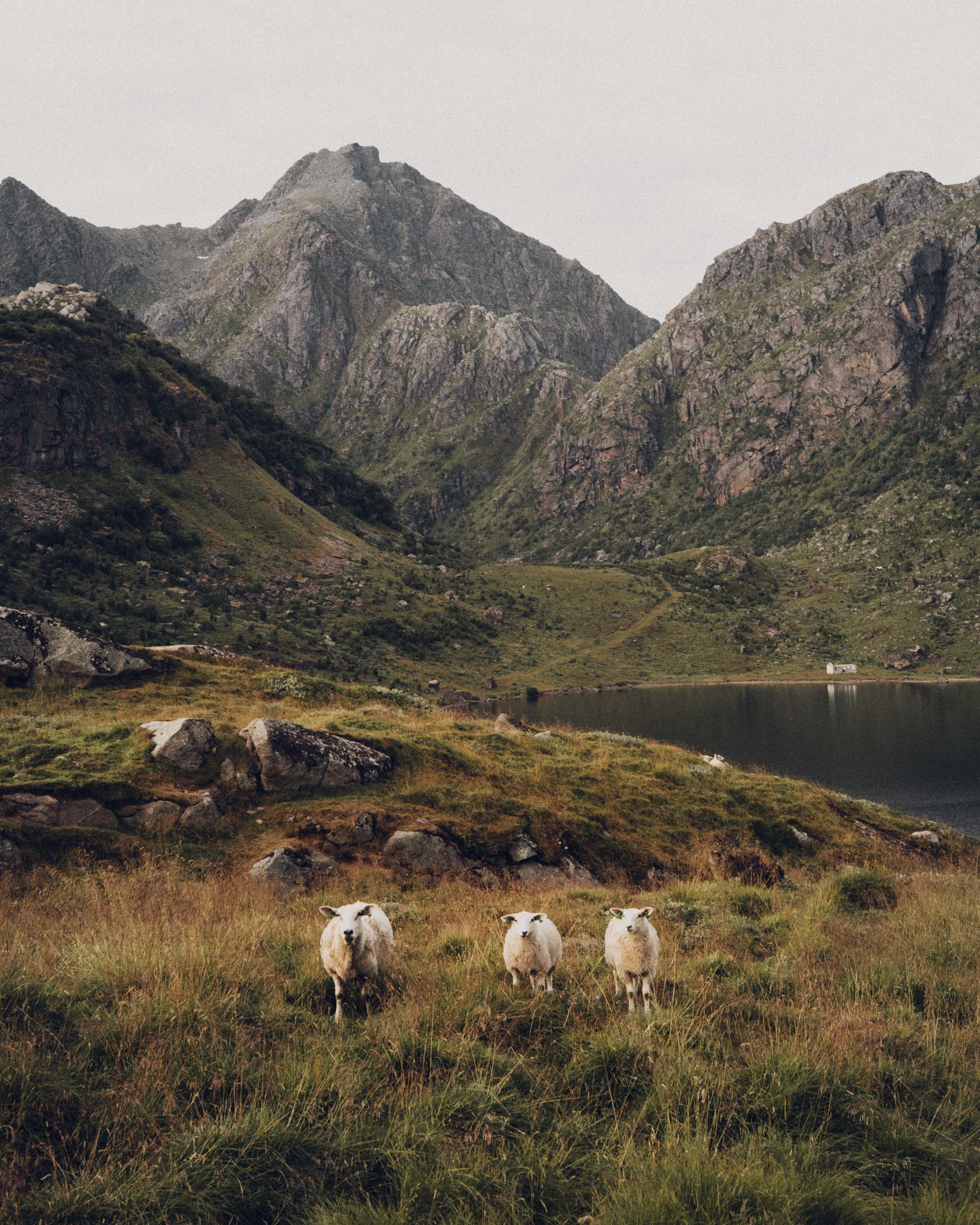 Sheep in the Lofoten Islands, Norway