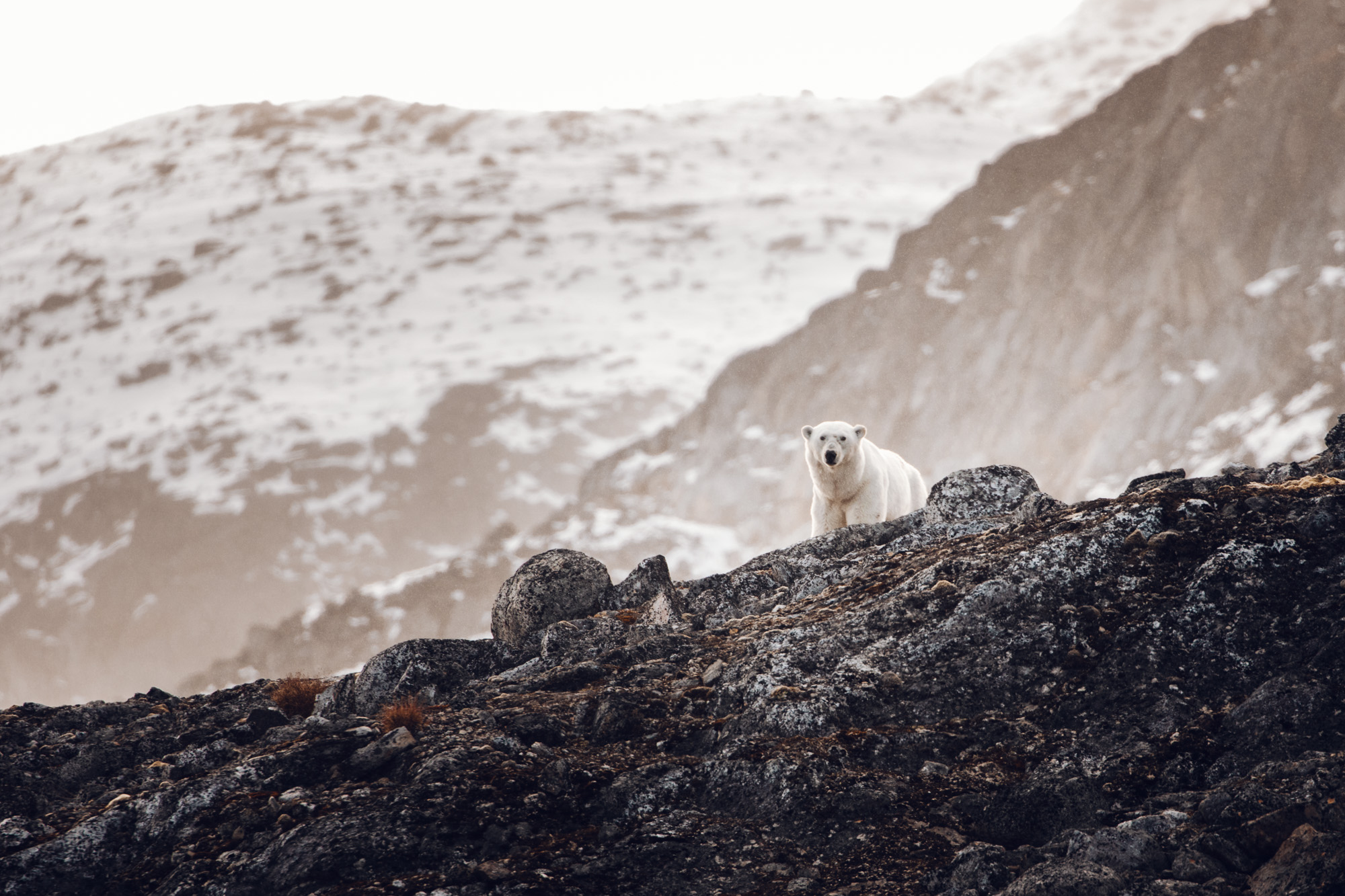 Polar bear in Virgohamna Spitsbergen via Find Us Lost