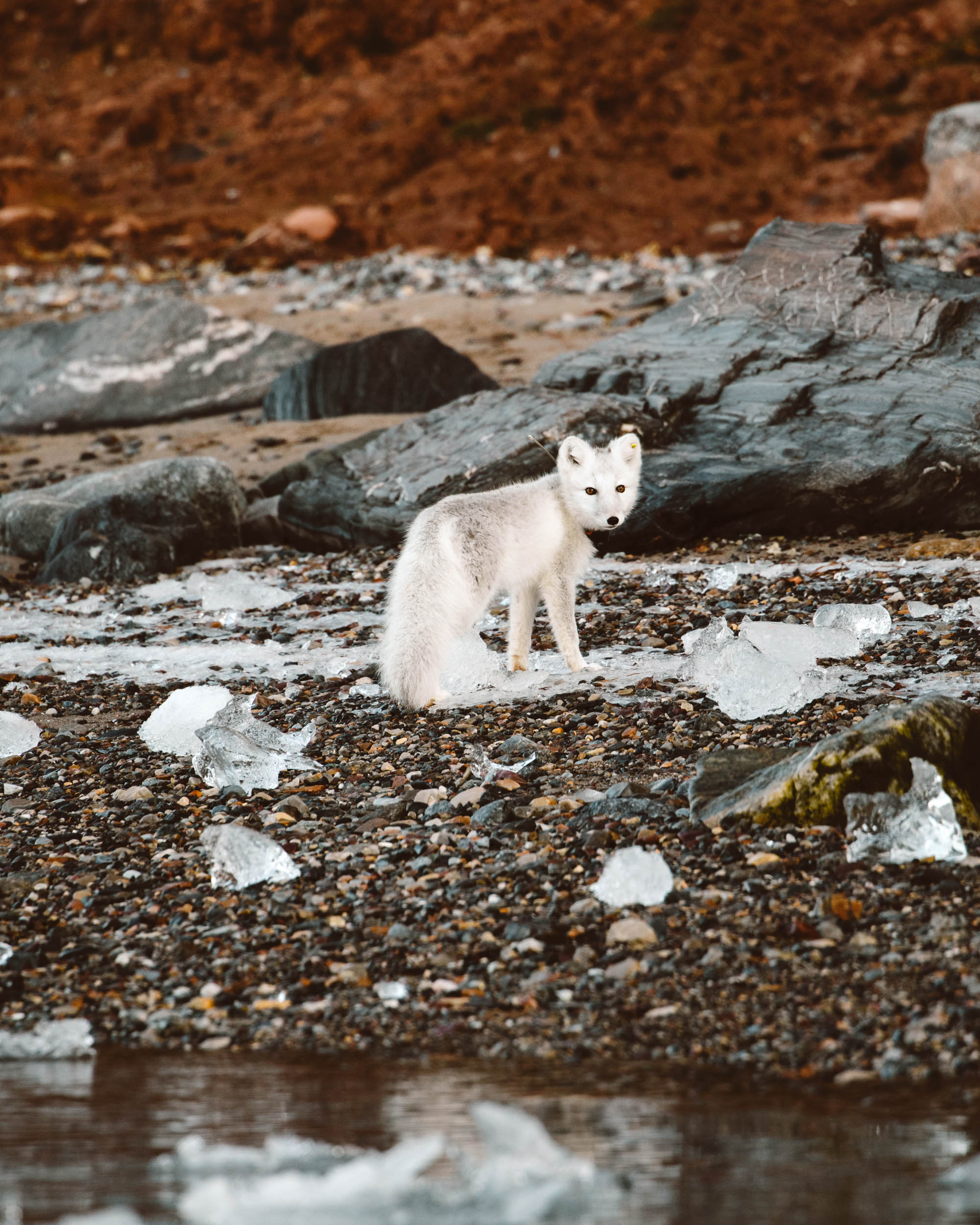 Arctic fox on the beach in Kongsfjorden Svalbard