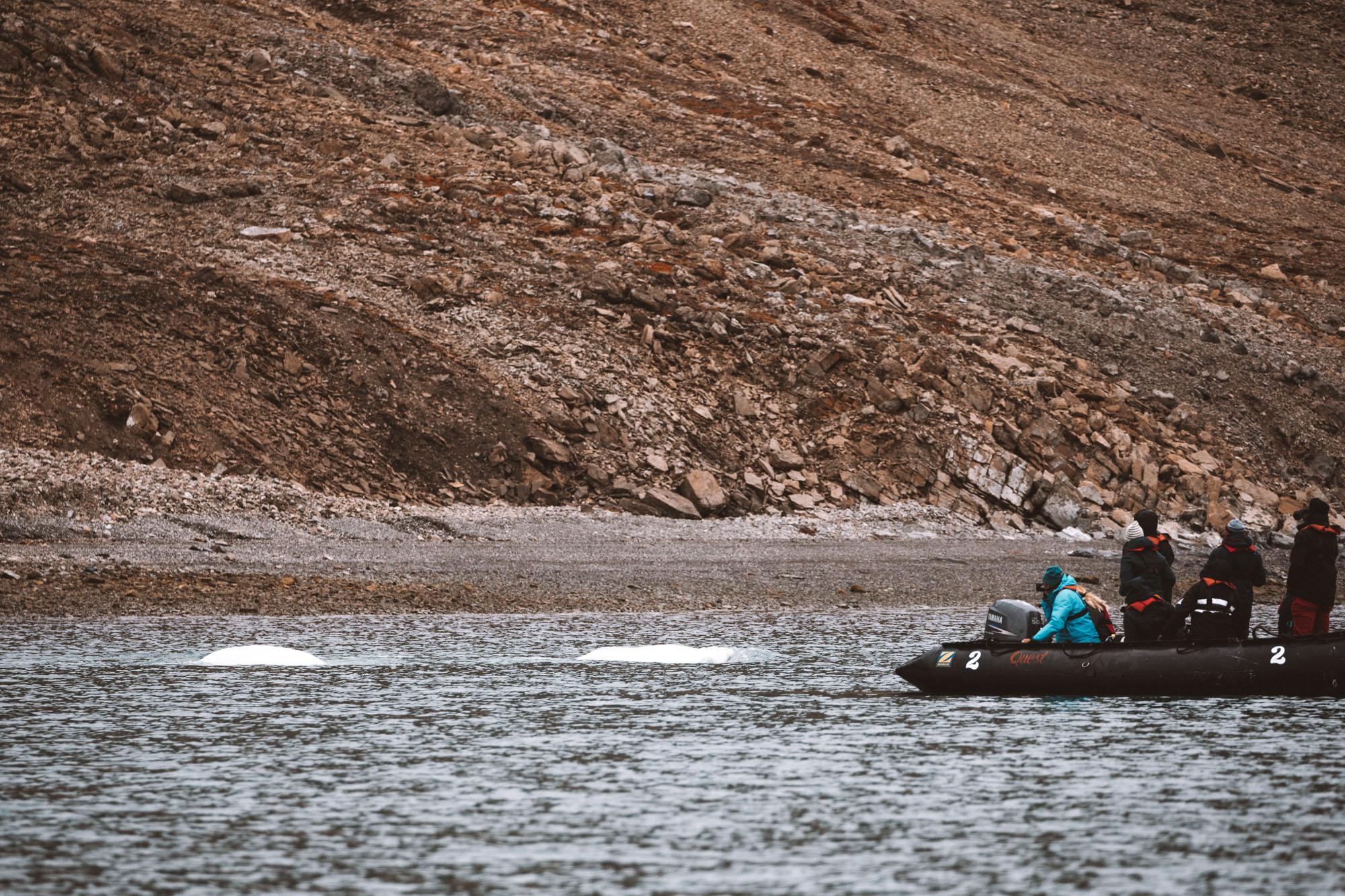 Beluga whales in Svalbard Trygghamna bay