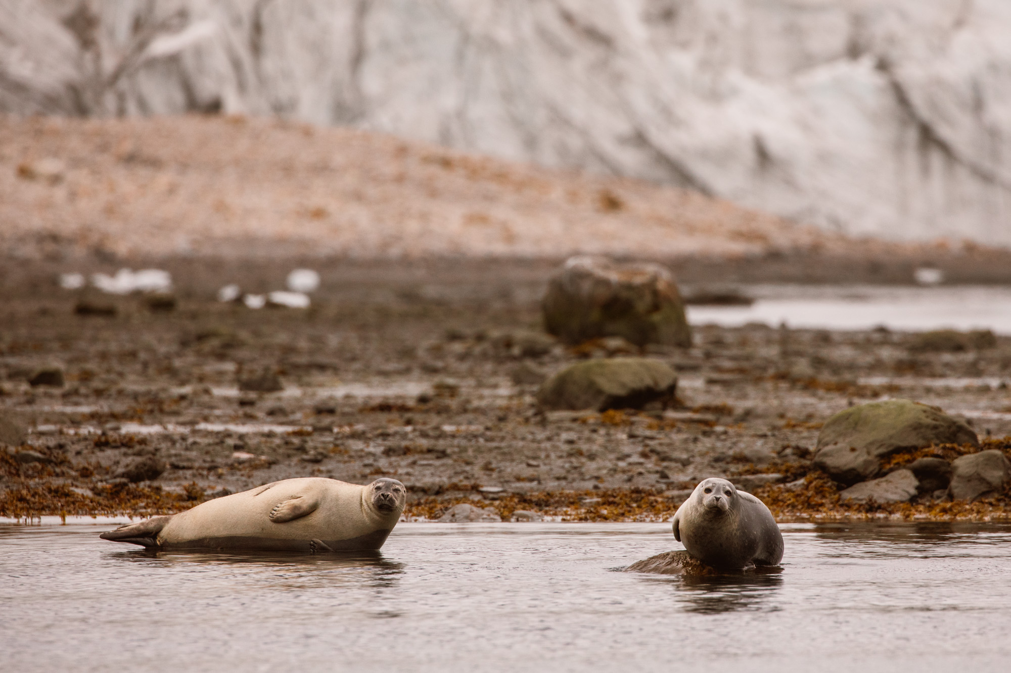 Seals in Trygghamna Svalbard