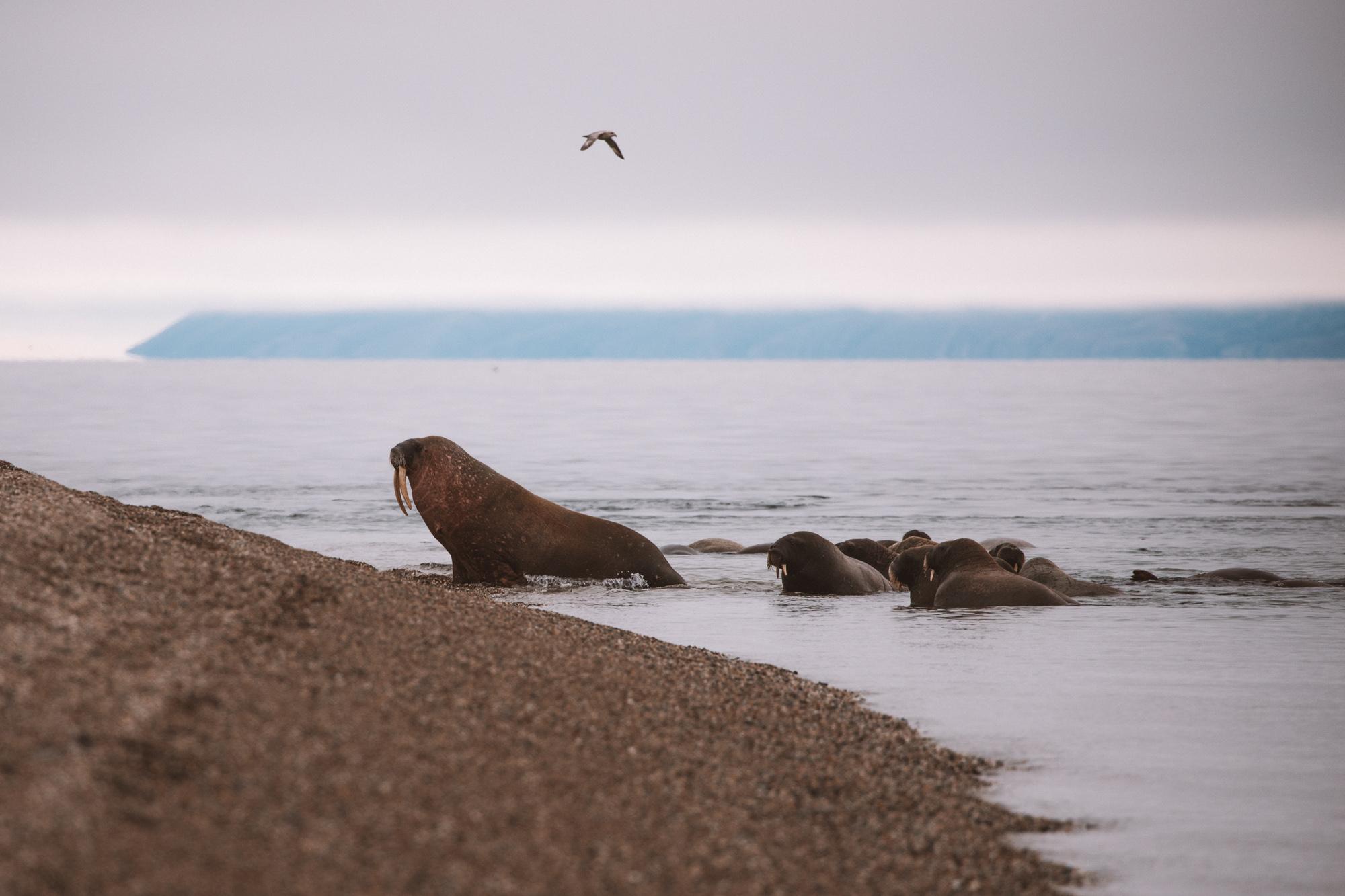 Walruses in Torrellneset Svalbard Spitsbergen via @finduslost