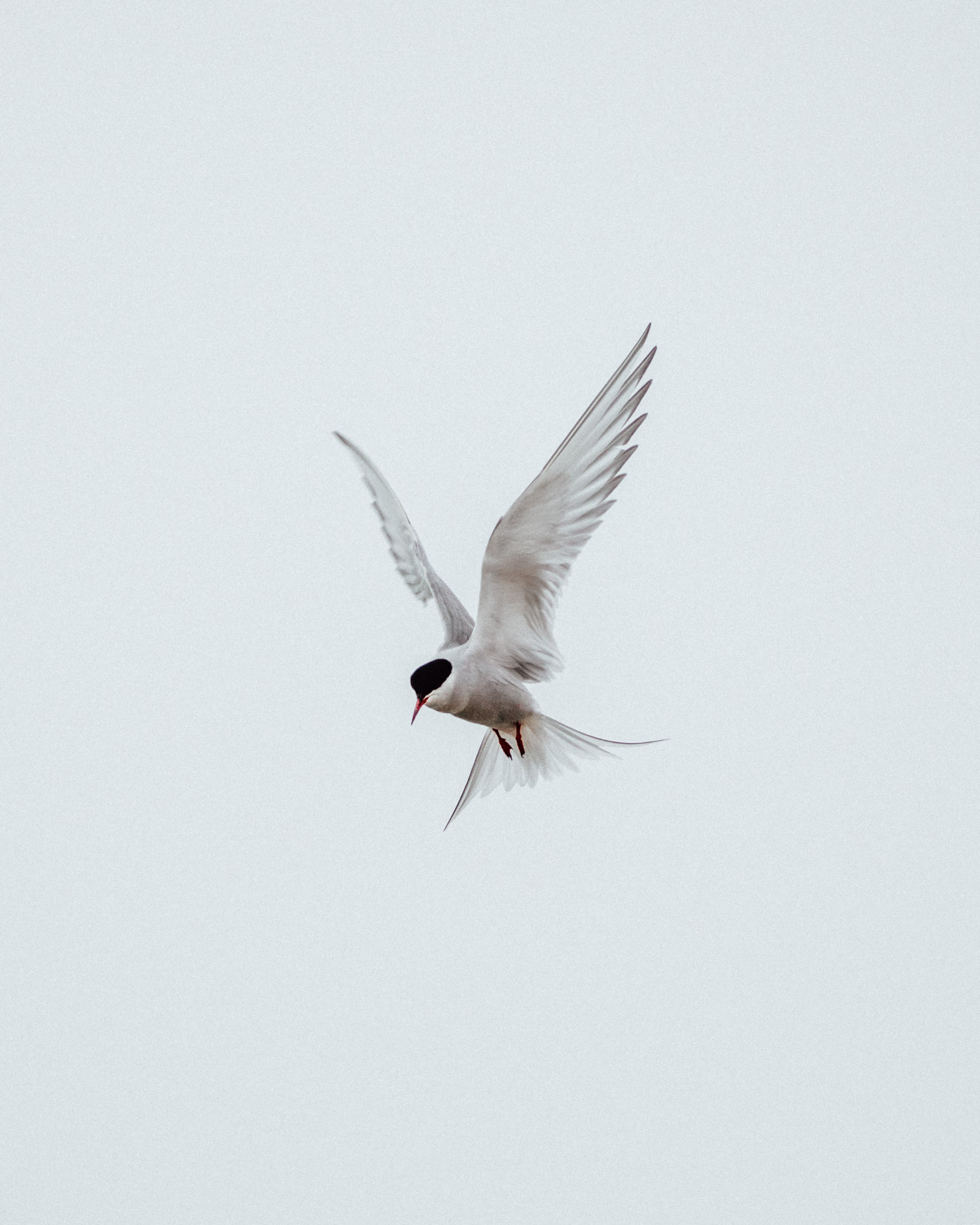 Arctic tern white bird in Svalbard Spitsbergen via @finduslost