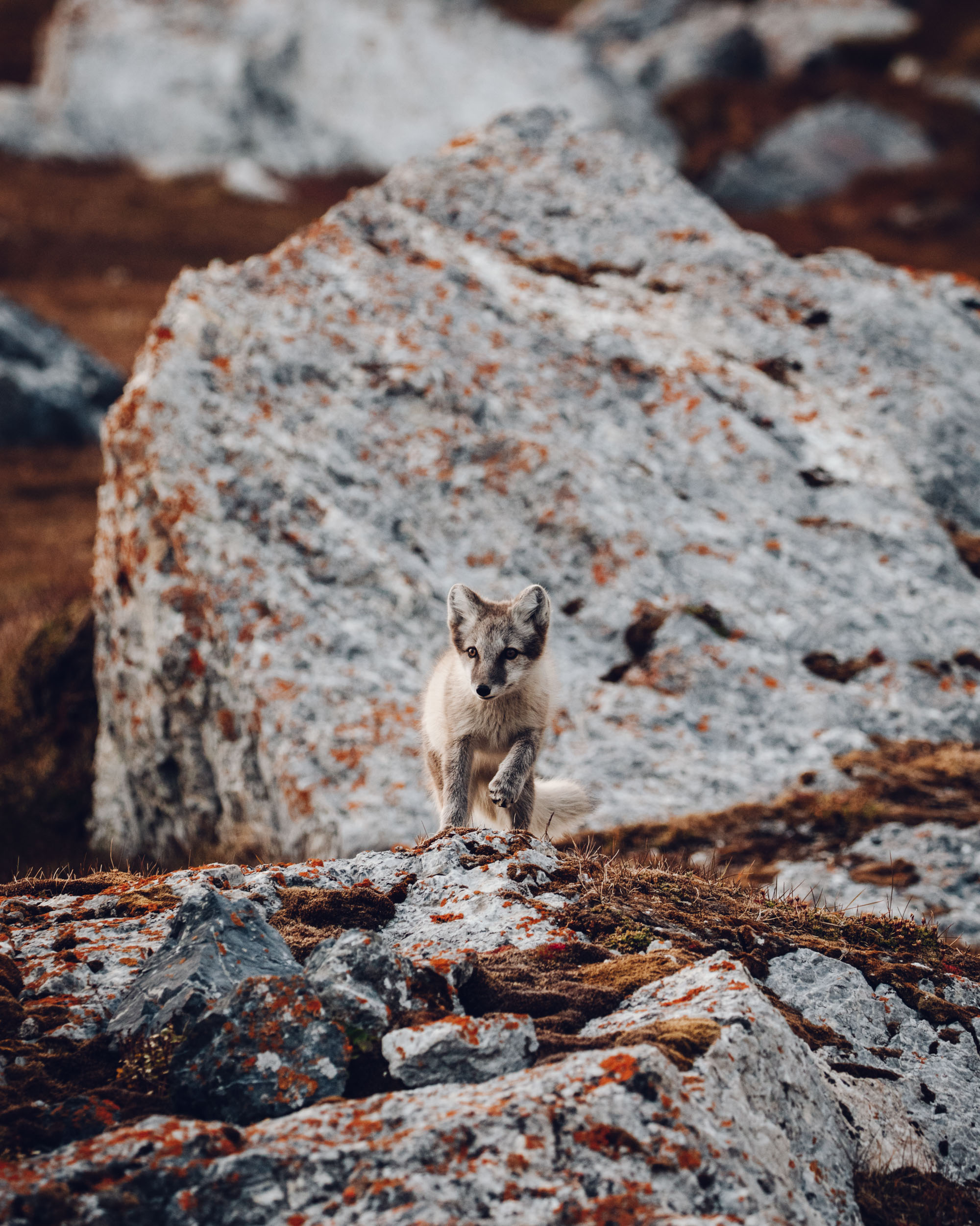 Arctic fox in Svalbard edited with Find Us Lost Presets