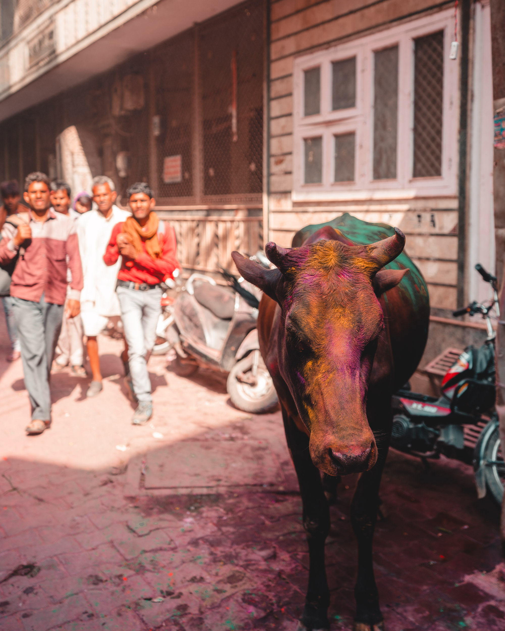 Cow covered in colorful powder in the streets of Vrindavan, India during Holi Festival via @finduslost