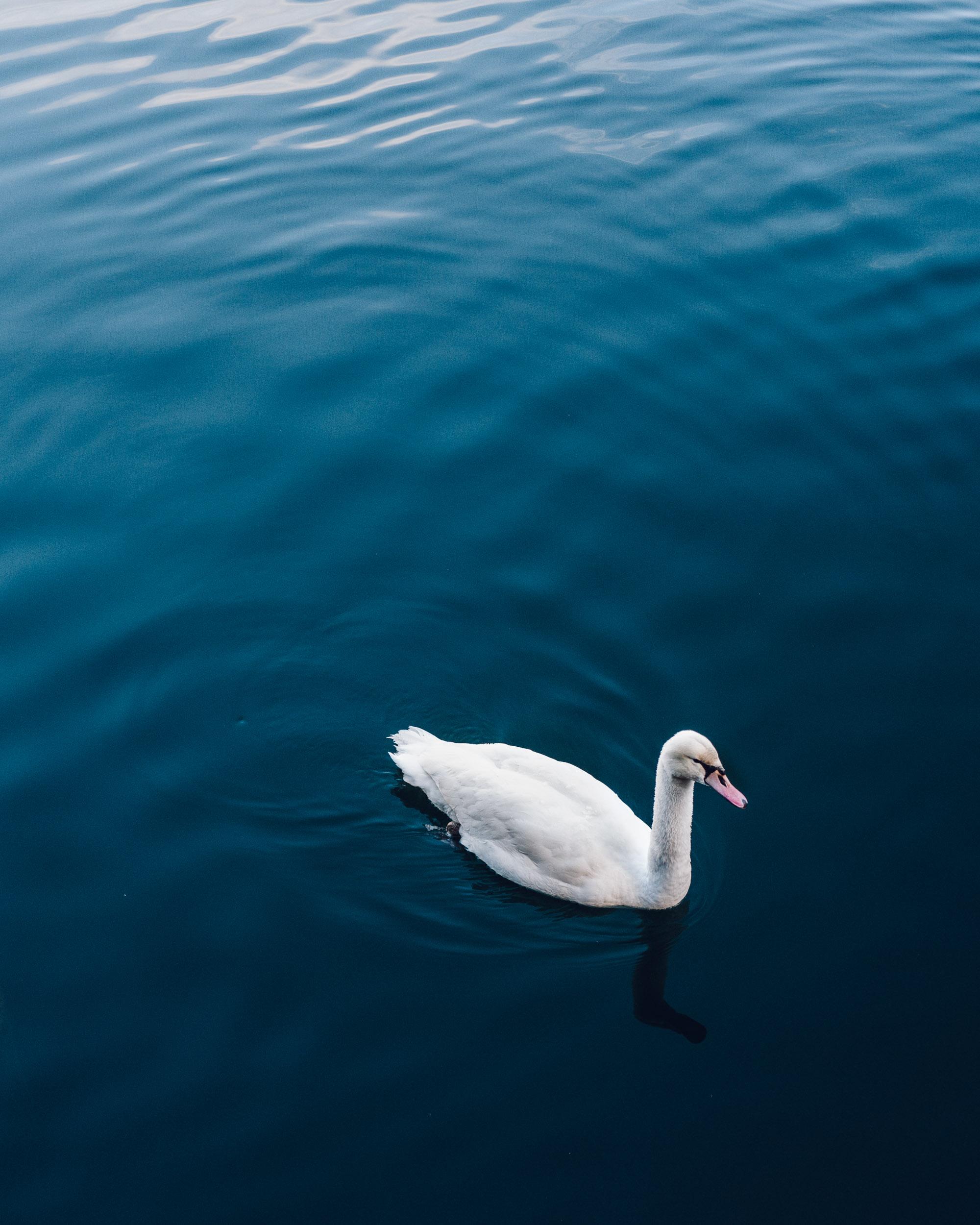 Swan at Lake Hallstatt in Austria during winter